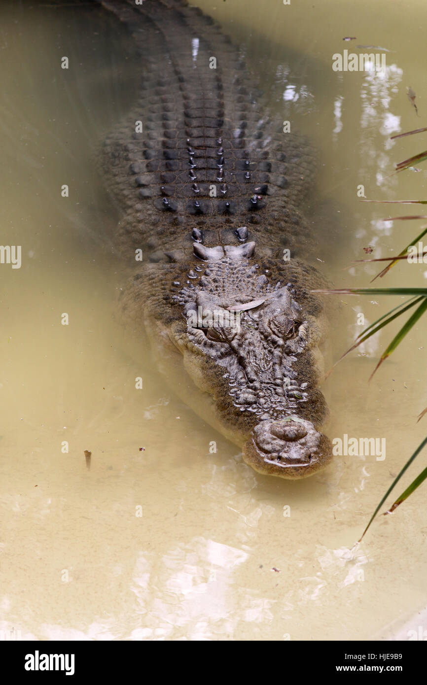 reptile, crocodile, australia, reptile, animals, crocodile, australia, - Stock Image