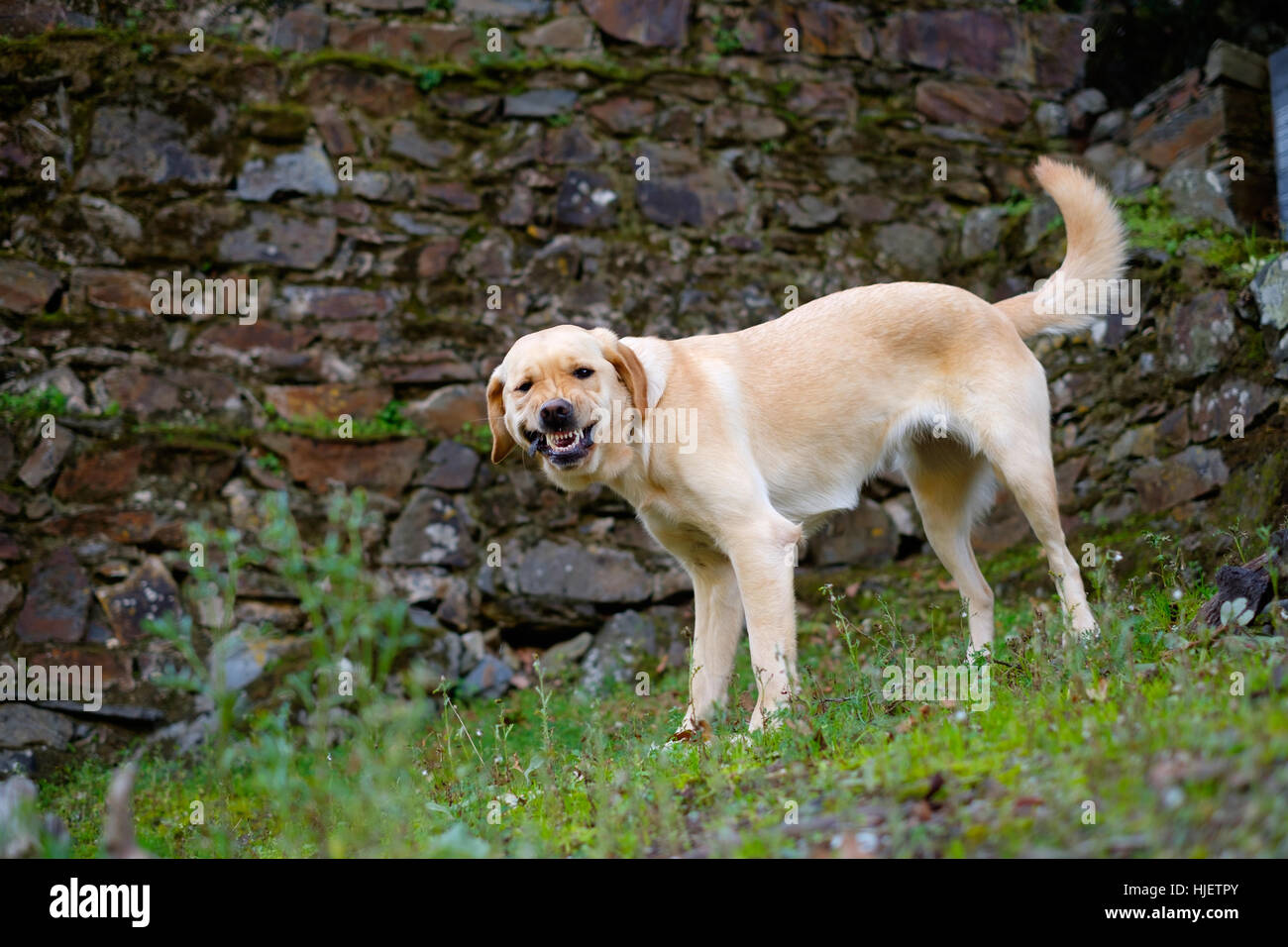 Yellow Labrador Golden Retriever mix dog aggressively showing its teeth - Stock Image