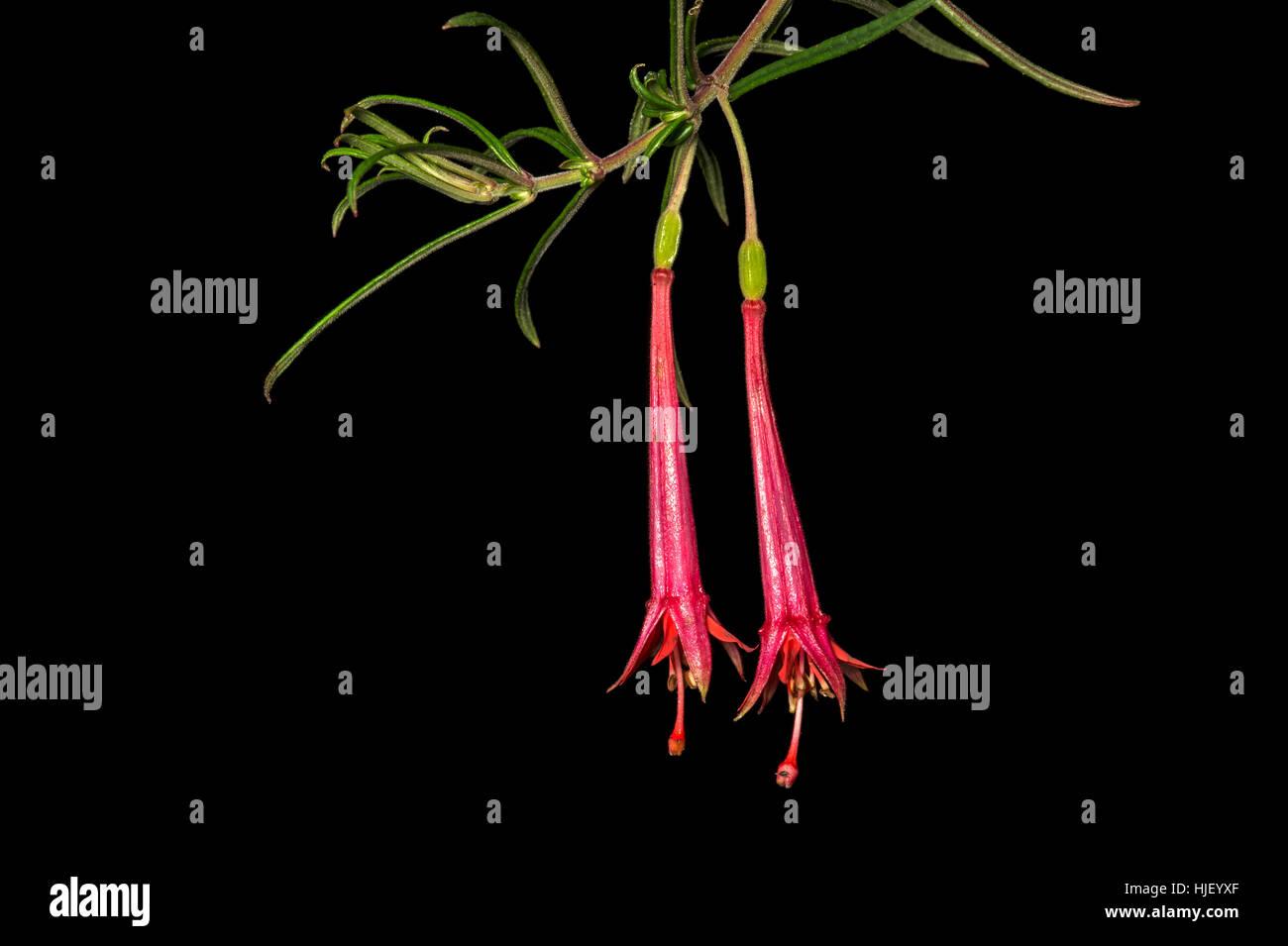 Neotropical fuchsia, evening primrose family (Onagraceae) Tapichalaca nature reserve, Andean cloud forest - Stock Image