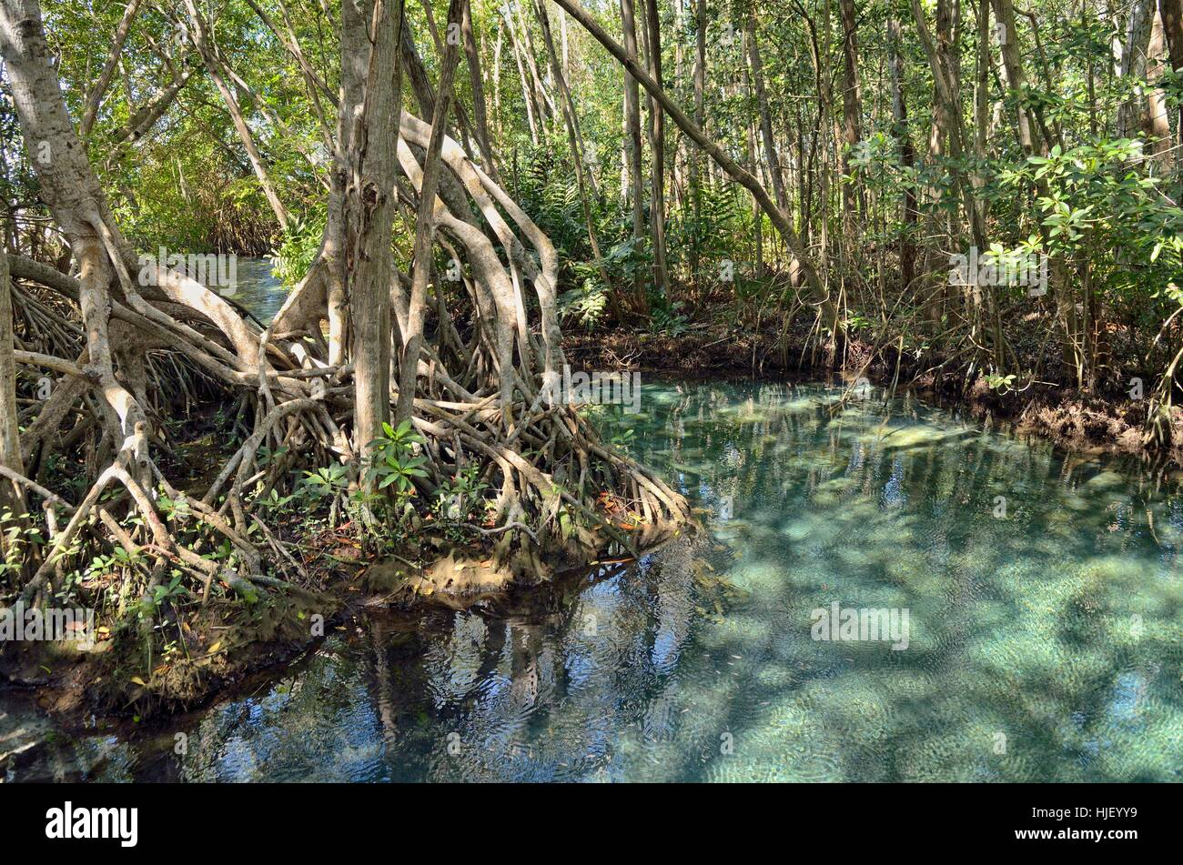 Freshwater source in mangrove forest (Rhizophora), near Celestun, Yucatan, Mexico - Stock Image