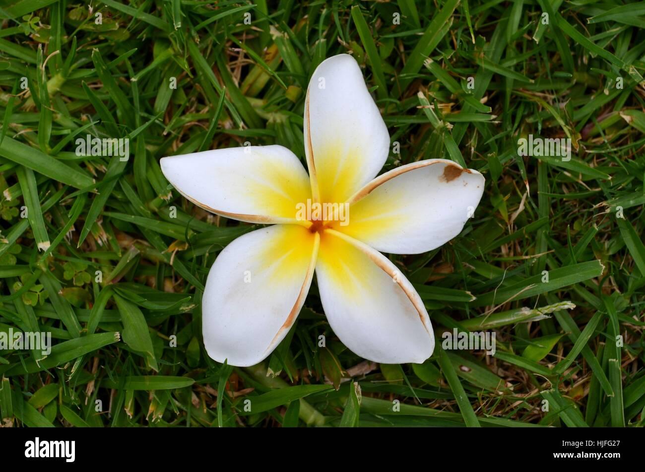 Frangipani flower fallen to the ground - Stock Image