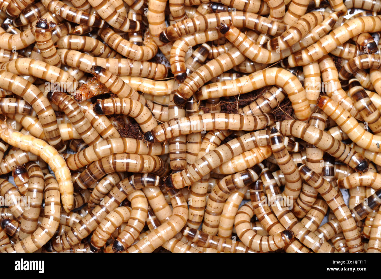 macro, close-up, macro admission, close up view, animal, scary, worms, maggot, Stock Photo