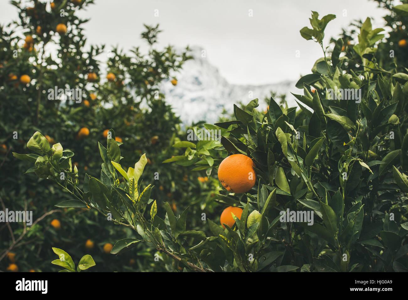 Orange trees with ripe oranges in the mountain garden, Turkey - Stock Image