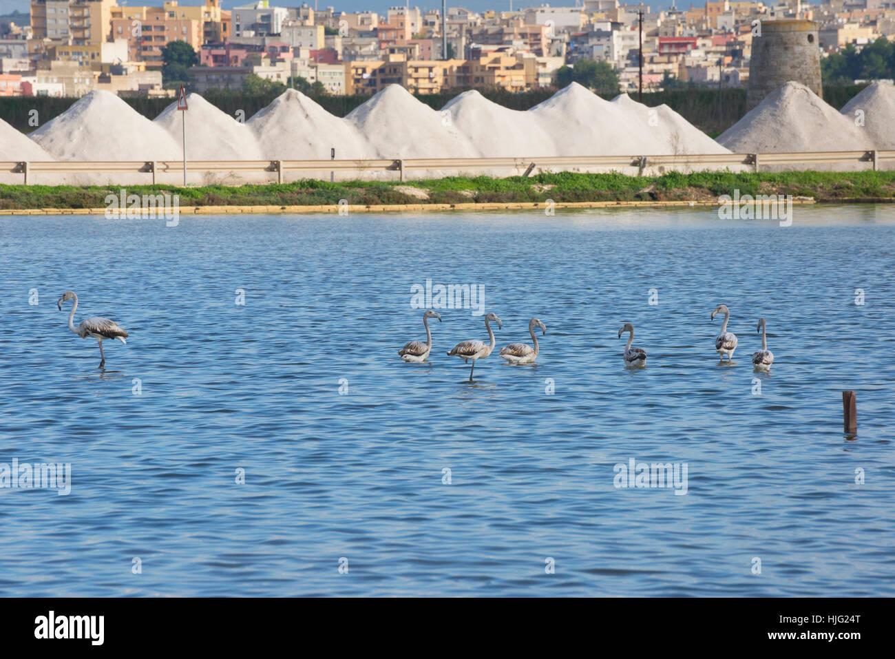 Flamingos at Salt Pans, Trapani, Sicily, Italy. - Stock Image
