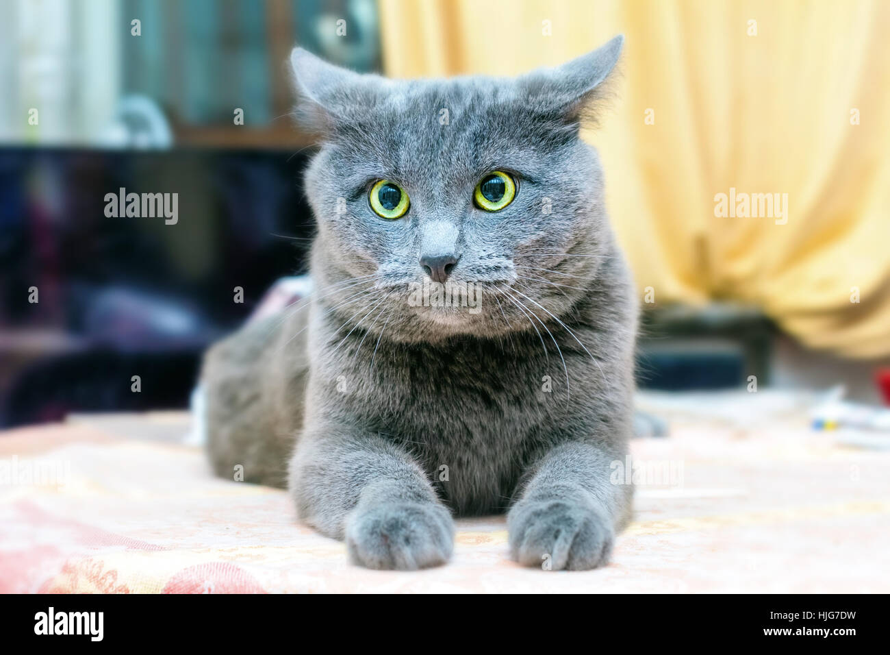 Adult grey cat puzzled at home room - Stock Image