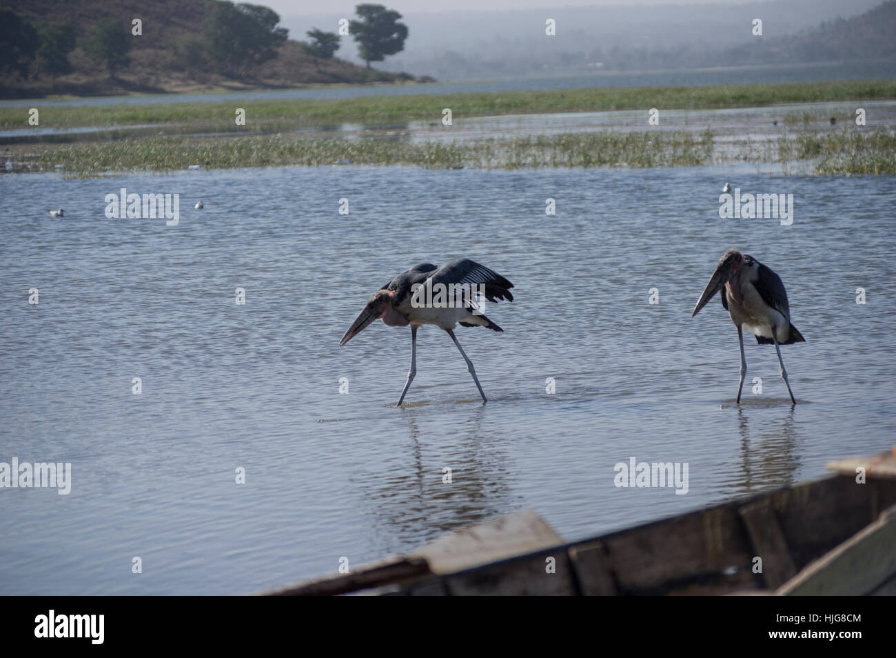 Two marabou storks scavenging for fish at Hawassa Lake, Ethiopia - Stock Image