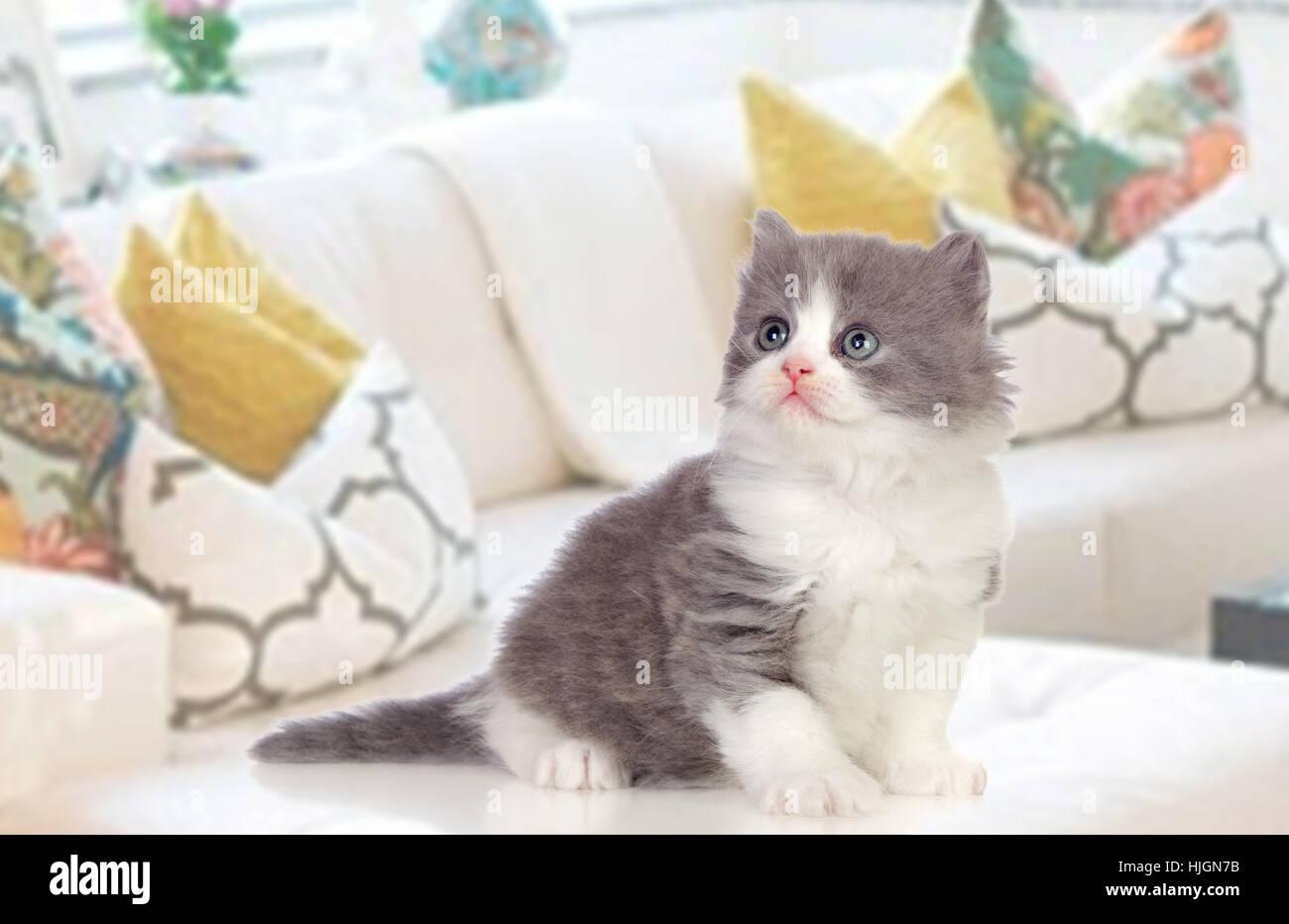 Sofa Cat Baby Kitten Homey Domestic Angora Persian Pussycat