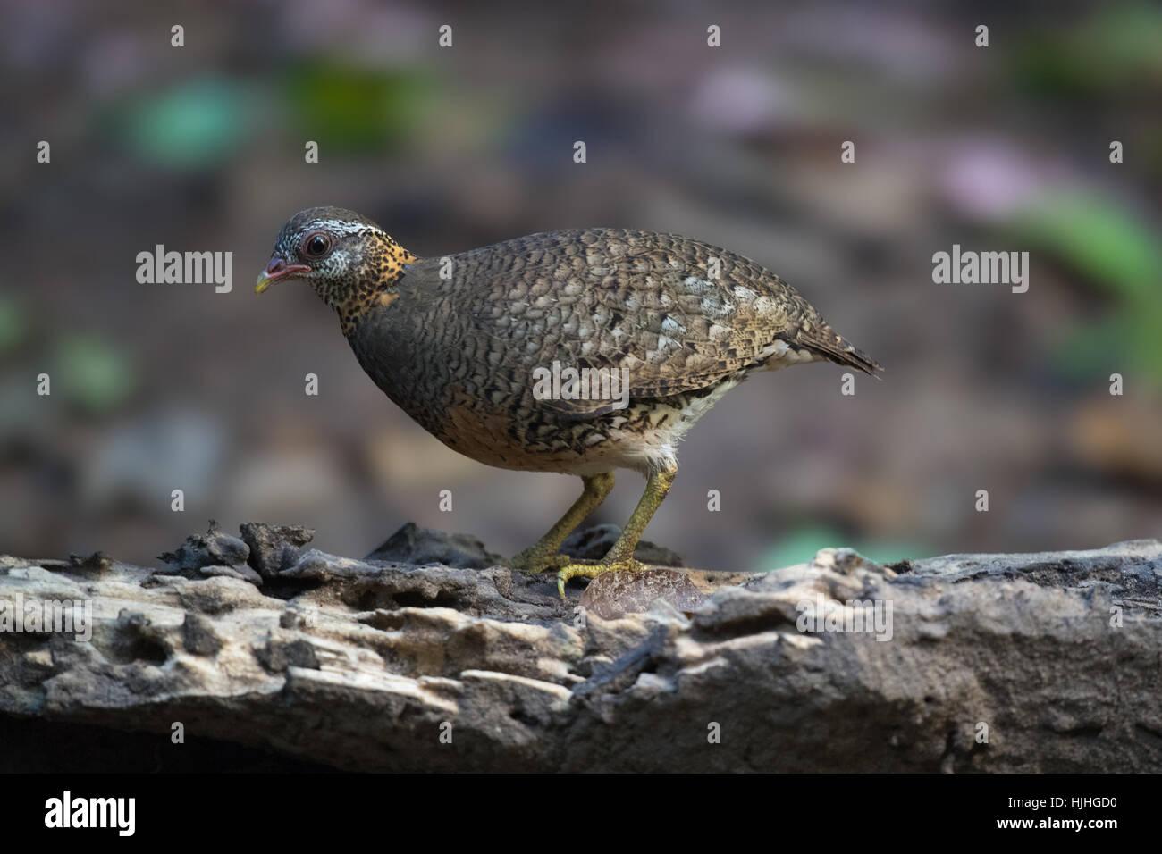 Scaly-breasted Partridge, Arborophila chloropus peninsularis, at Kaeng Krachan National Park, Thailand. - Stock Image