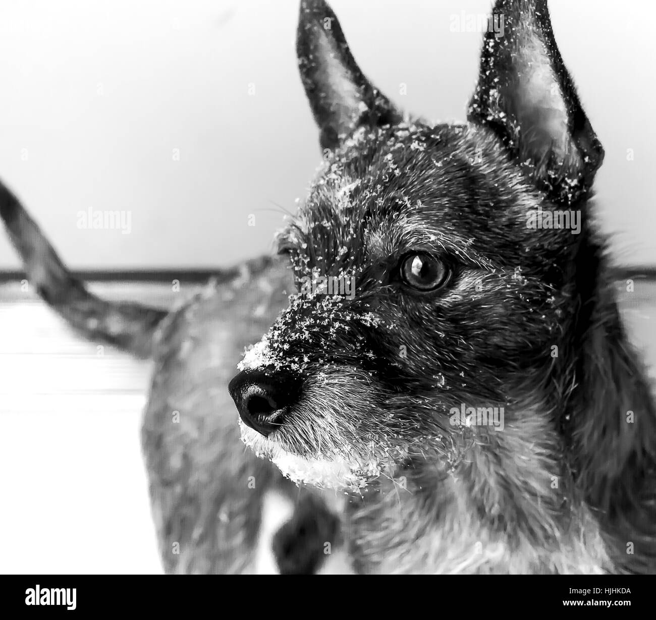 Wolf like dog after snow walk - Stock Image