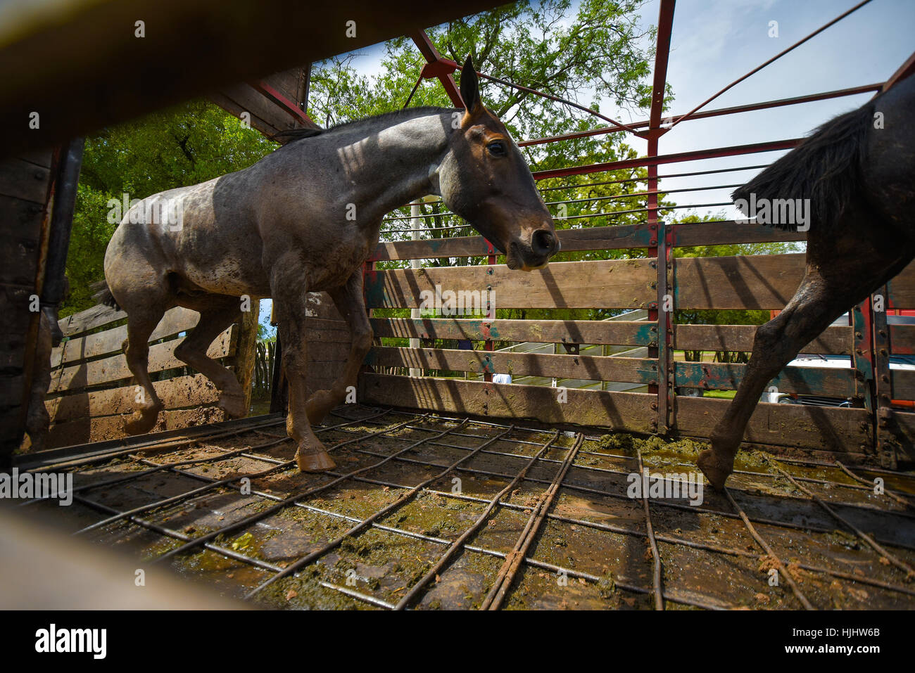 Silver dapple horses running in a horse box. - Stock Image