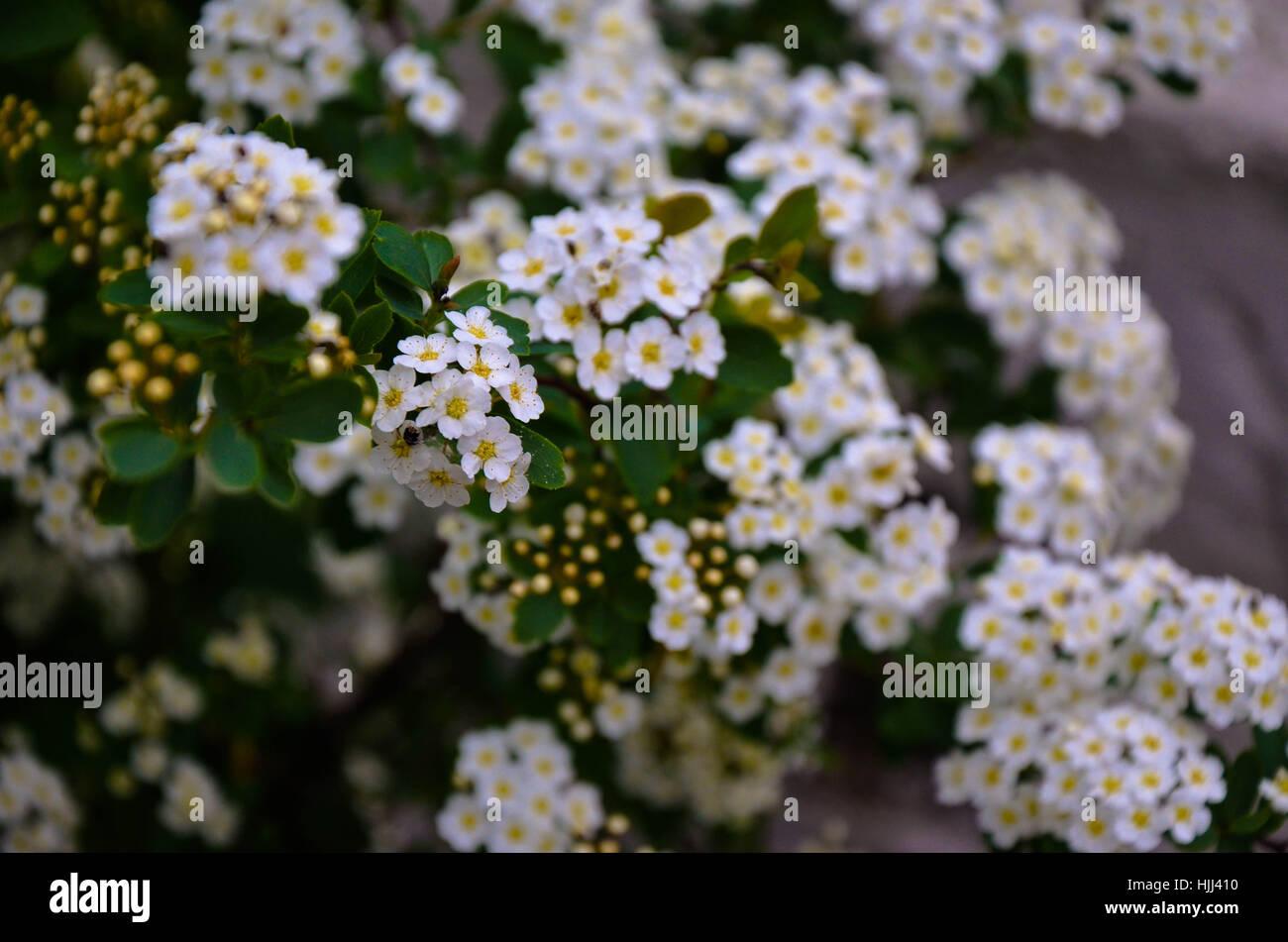 Spirea Flowers Stock Photos Spirea Flowers Stock Images Alamy