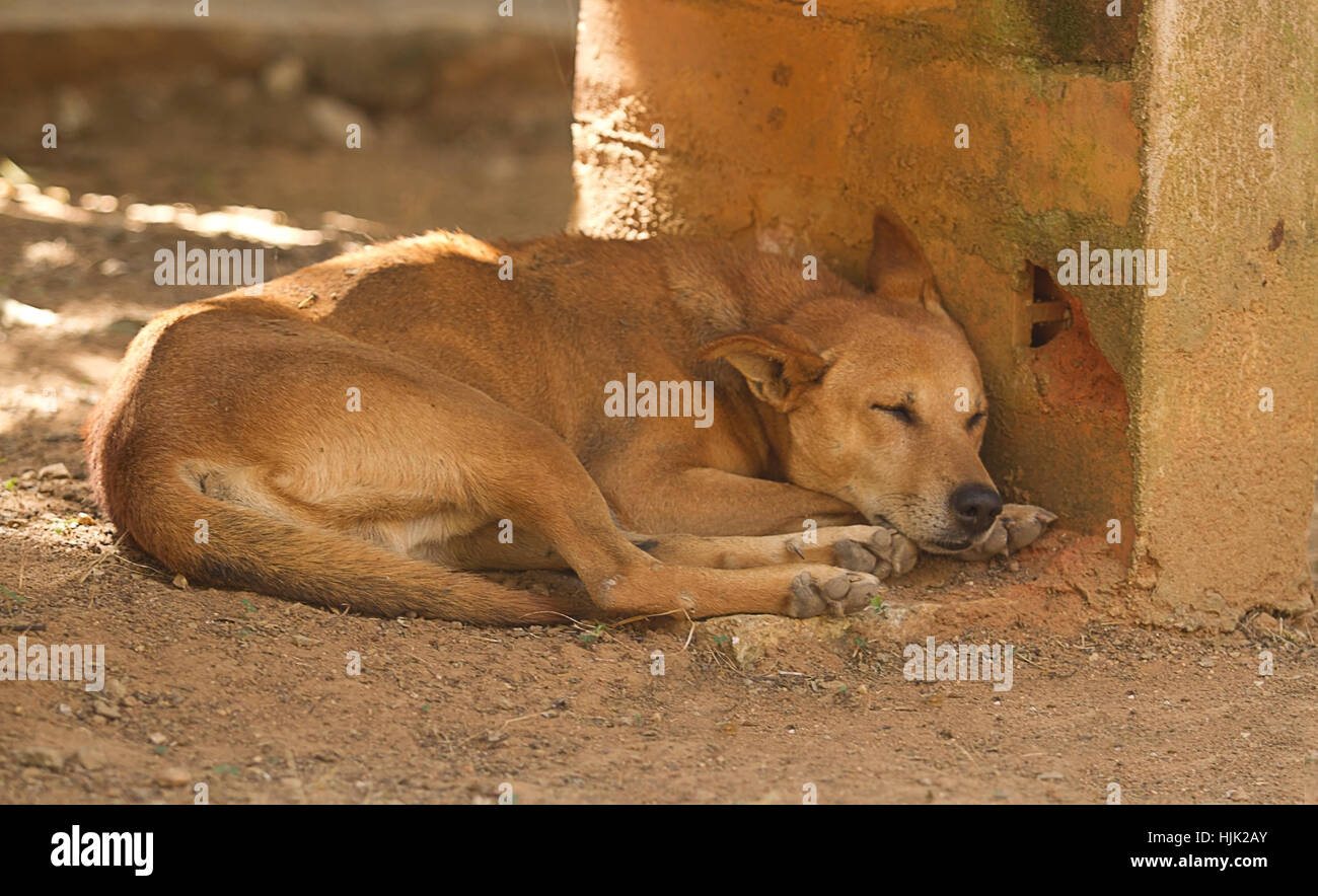 photograph of an Indian feral dog asleep in the shade - Stock Image