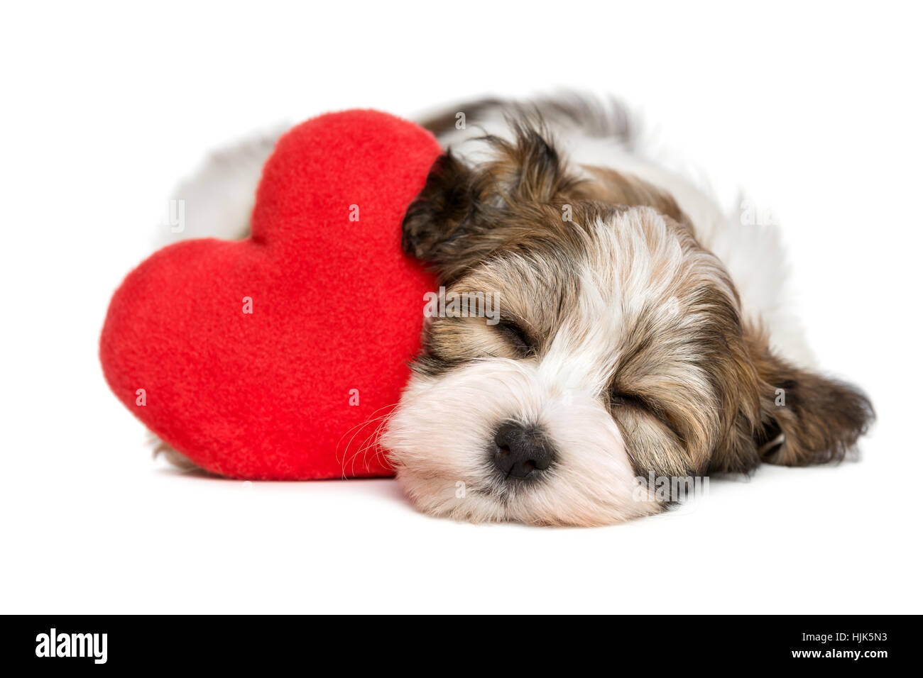 Lover Valentine Havanese puppy dog sleeping and dreaming with a red heart - Stock Image
