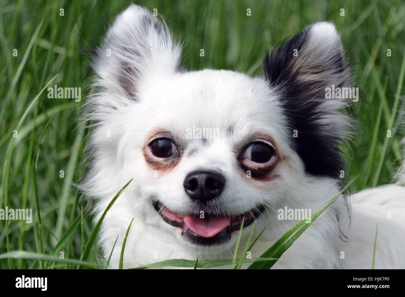 chihuahua in the grass - Stock Image