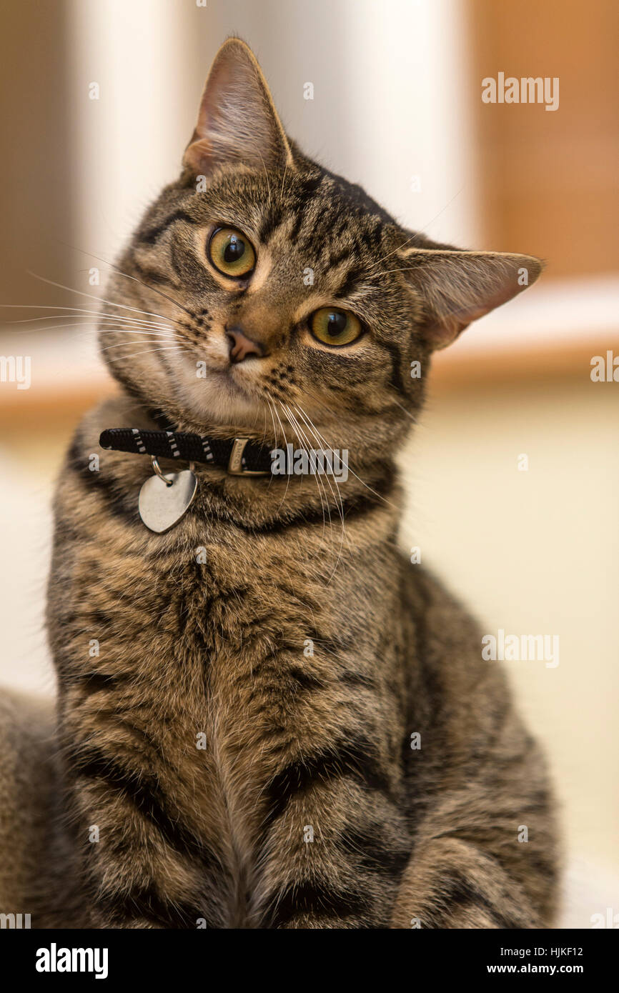 Female bengal cat, kitten, tabby, head cocked on one side, looking cute and adorable - Stock Image