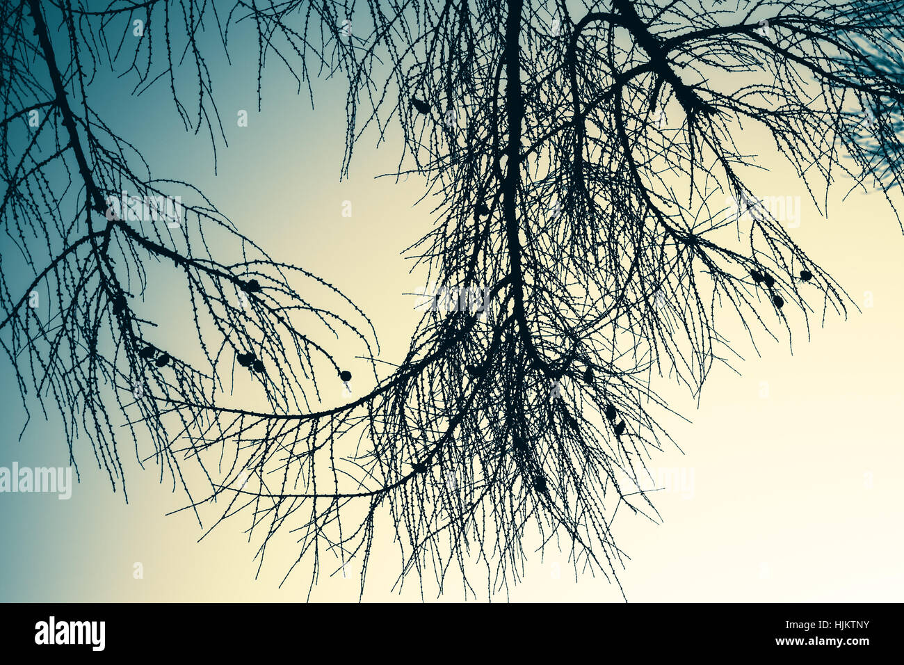Branches of larch tree over empty sky. Natural background photo with blue vintage tonal correction filter effect - Stock Image