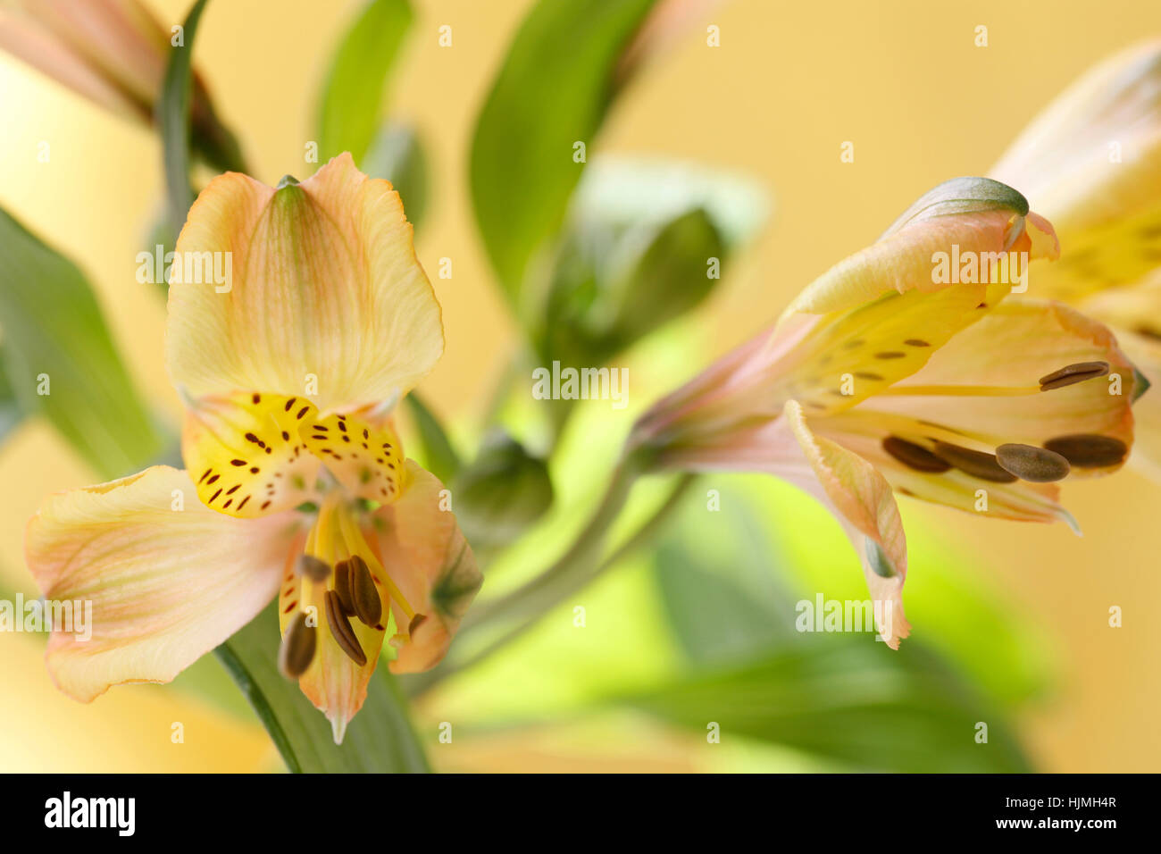 Elegant Yellow Alstroemeria Flower Symbolizes Friendship And