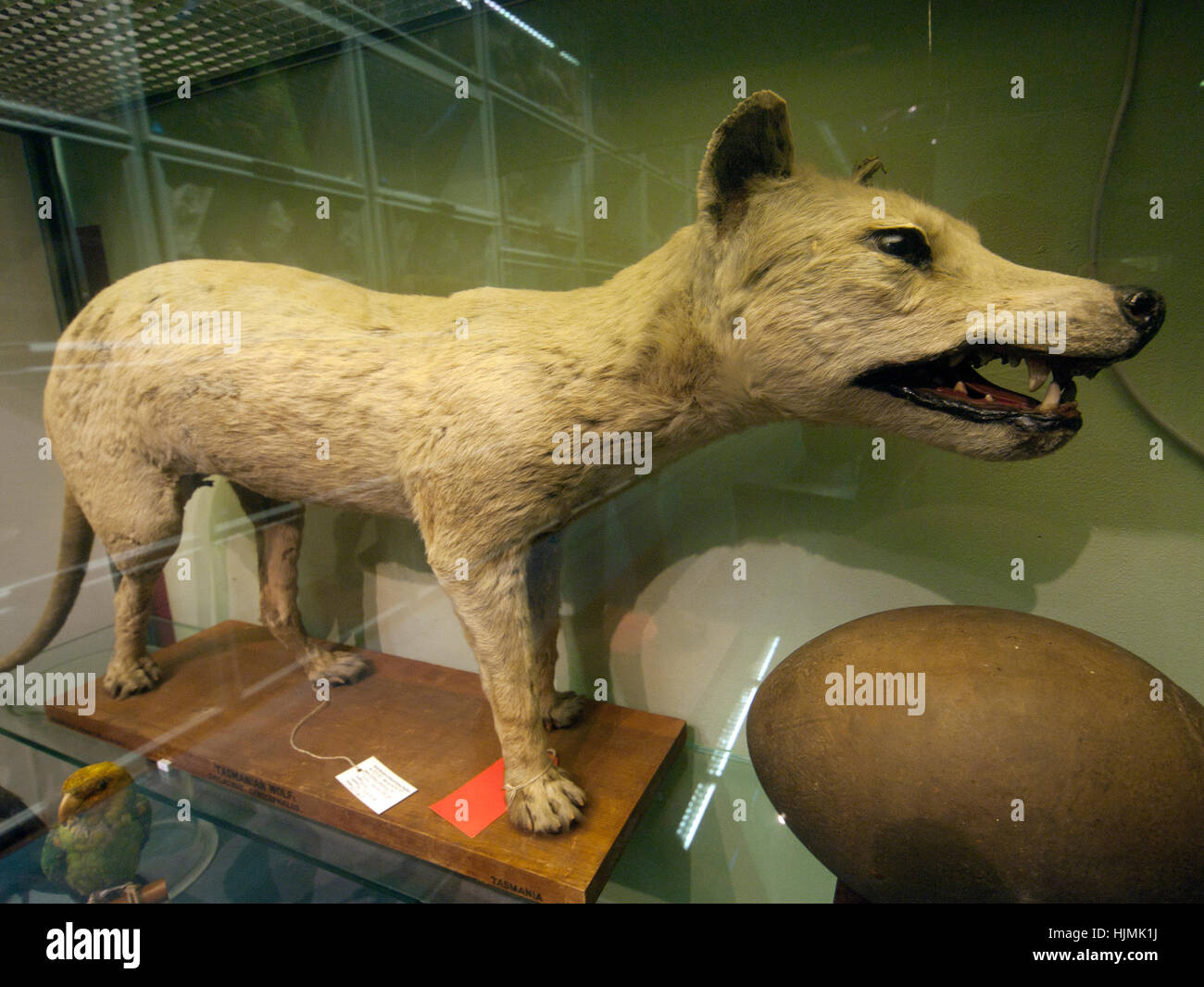 A Stuffed Tasmanian Tiger In A Display Case Of The Booth Museum In