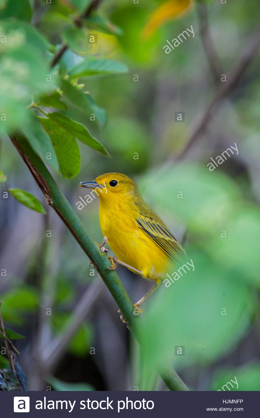 A yellow warbler, Dendroica petechia, calls out on Santa Cruz Island in the Galapagos Islands National Park. - Stock Image