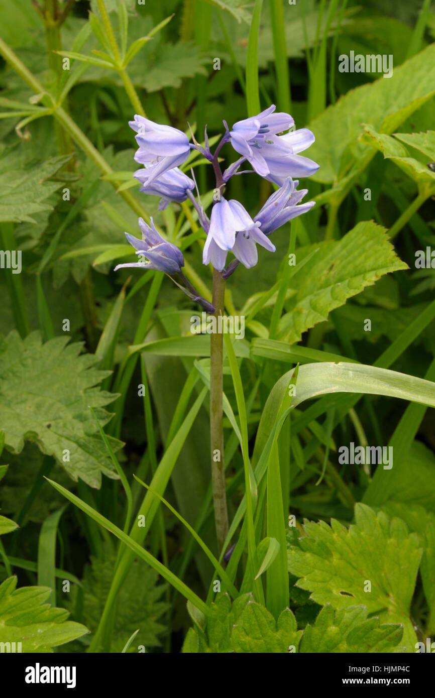 Spanish Bluebell, Hyacinthoides hispanica Stock Photo