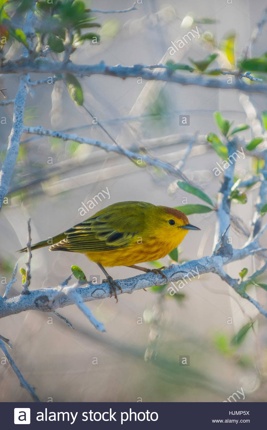 A yellow warbler, Dendroica petechia, perched on a branch on Isabela Island. - Stock Image