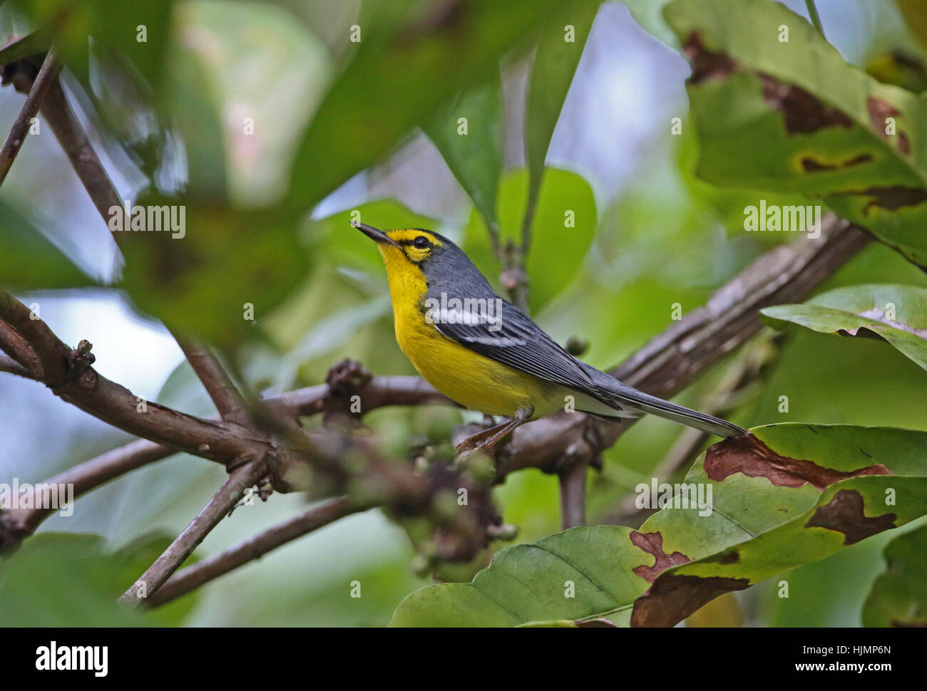 St Lucia Warbler (Setophaga delicata) adult perched on branch   Fond Doux Plantation, St Lucia, Lesser Antilles - Stock Image
