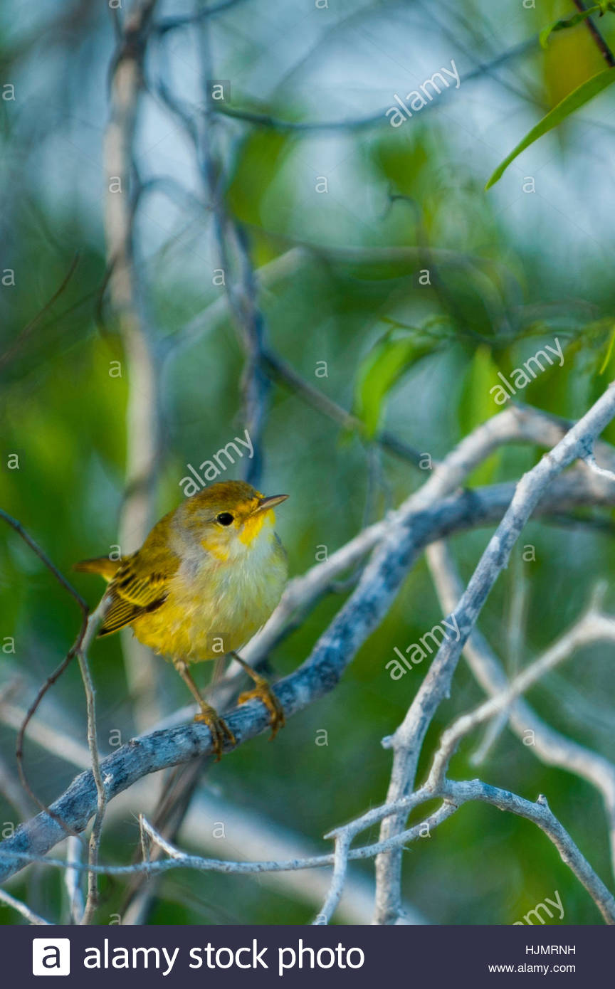 A yellow warbler, Dendroica petechia, perched on a branch on Santa Cruz Island. - Stock Image