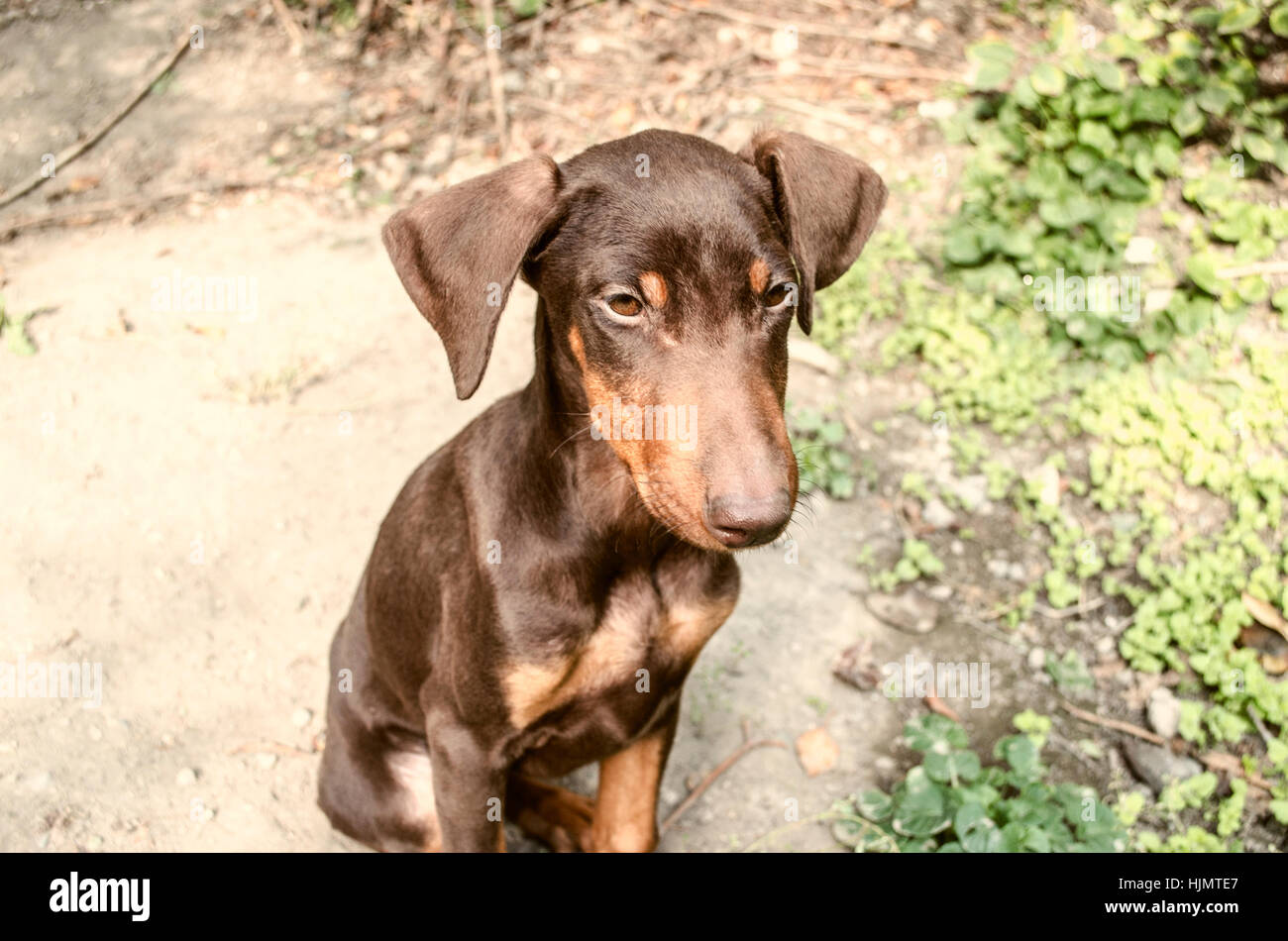 Little a female yellowish brown Doberman is basking - Stock Image