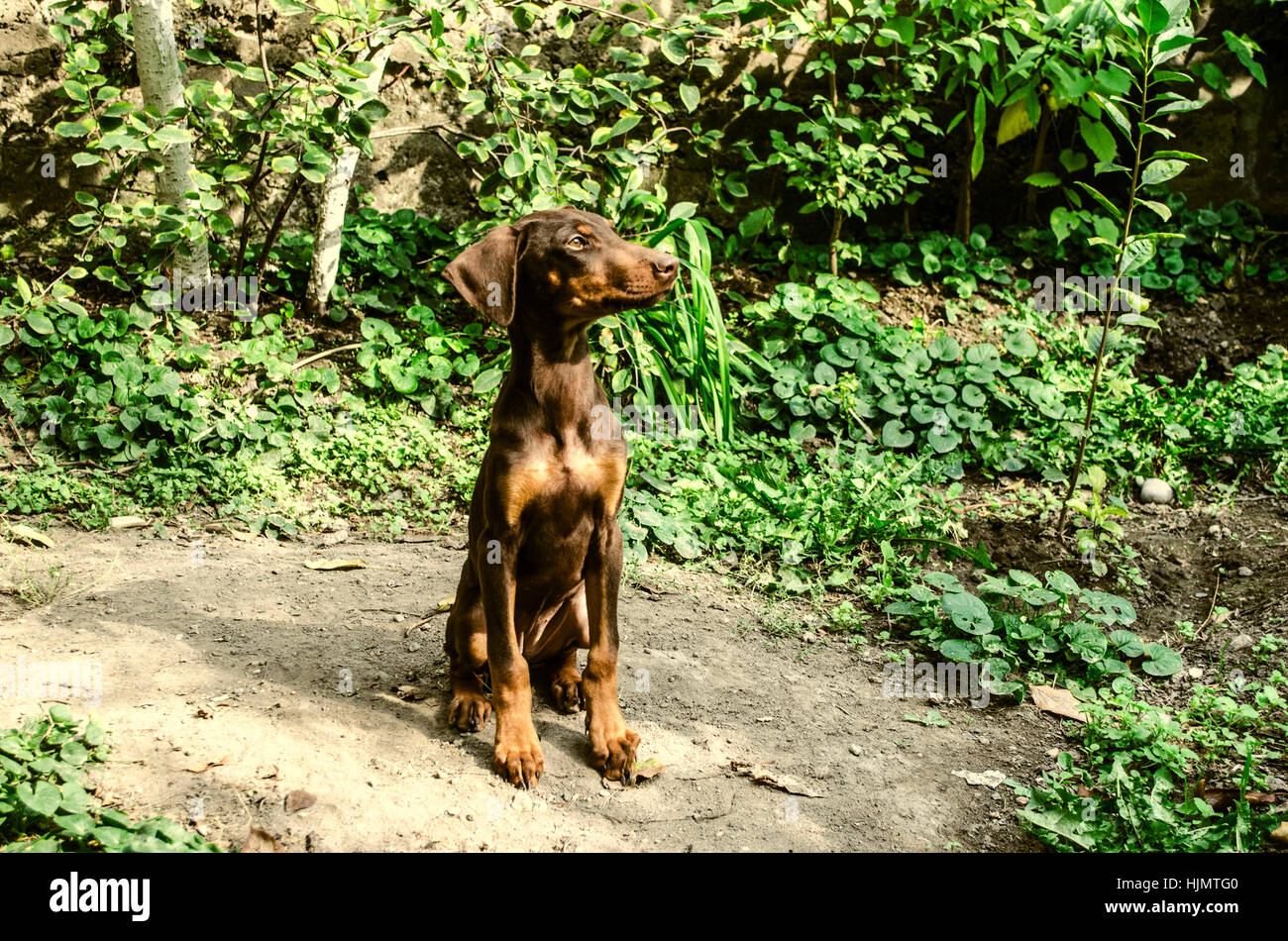 Little a female yellowish brown Doberman watching behind the garden - Stock Image