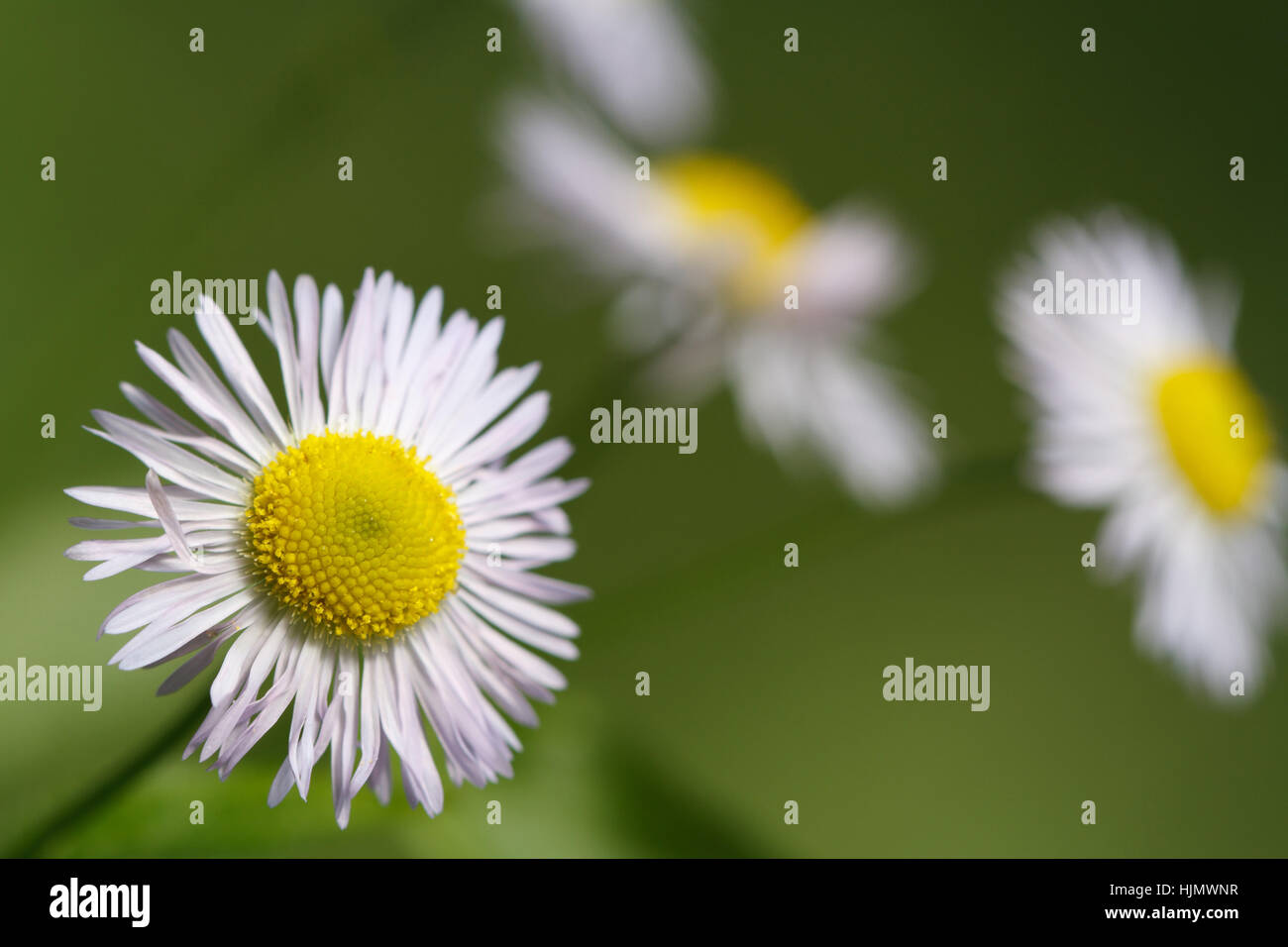 Beautiful summer background of wild flowers daisy closeup. outdoor. horizontal - Stock Image