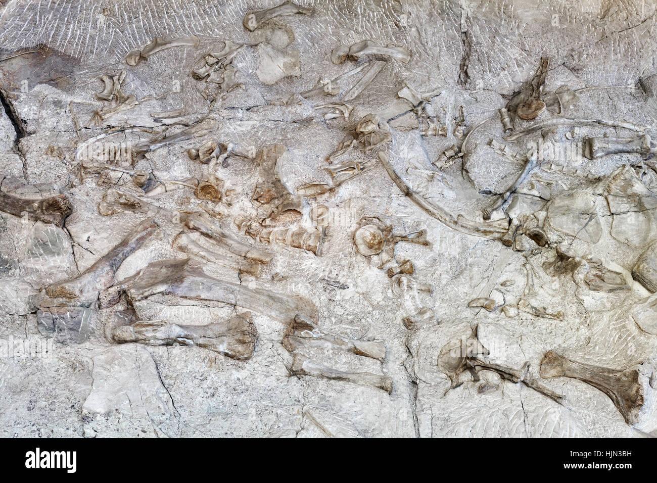 Dinosaur skeletons in Dinosaur National Monument, Utah, USA. - Stock Image