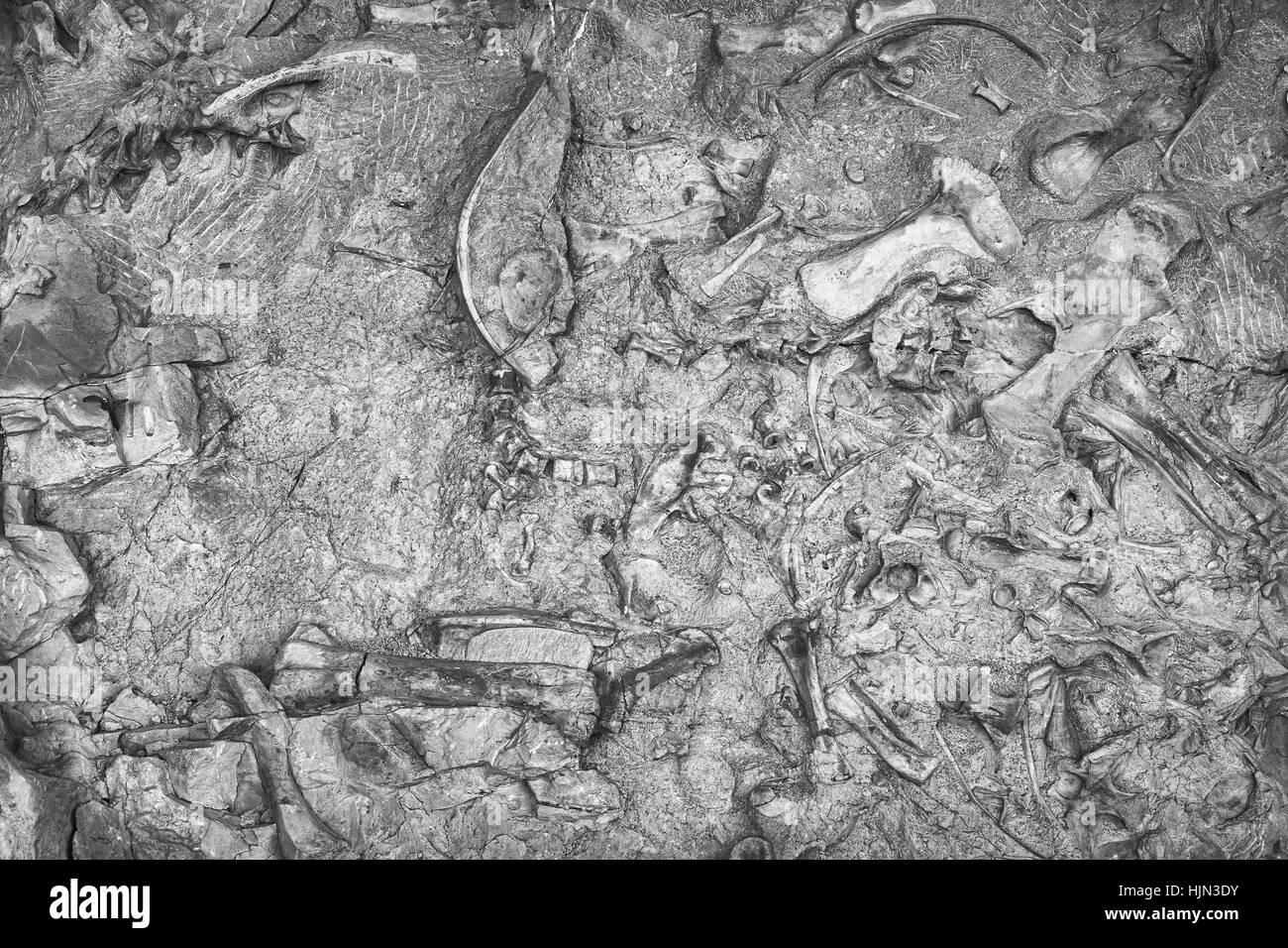 Black and white toned dinosaur skeletons in Dinosaur National Monument, Utah, USA. - Stock Image
