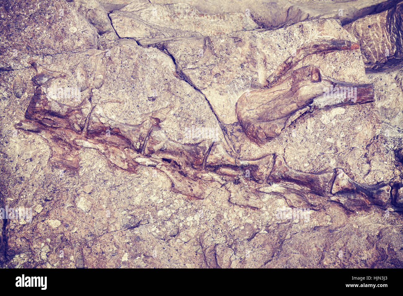 Color toned dinosaur skeleton in Dinosaur National Monument, Utah, USA. - Stock Image