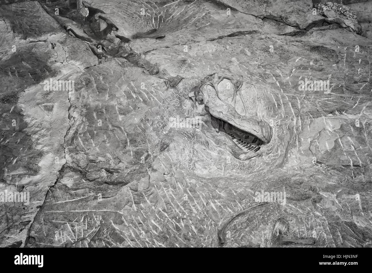 Black and white picture of a dinosaur skeleton, Dinosaur National Monument, Utah, USA. - Stock Image