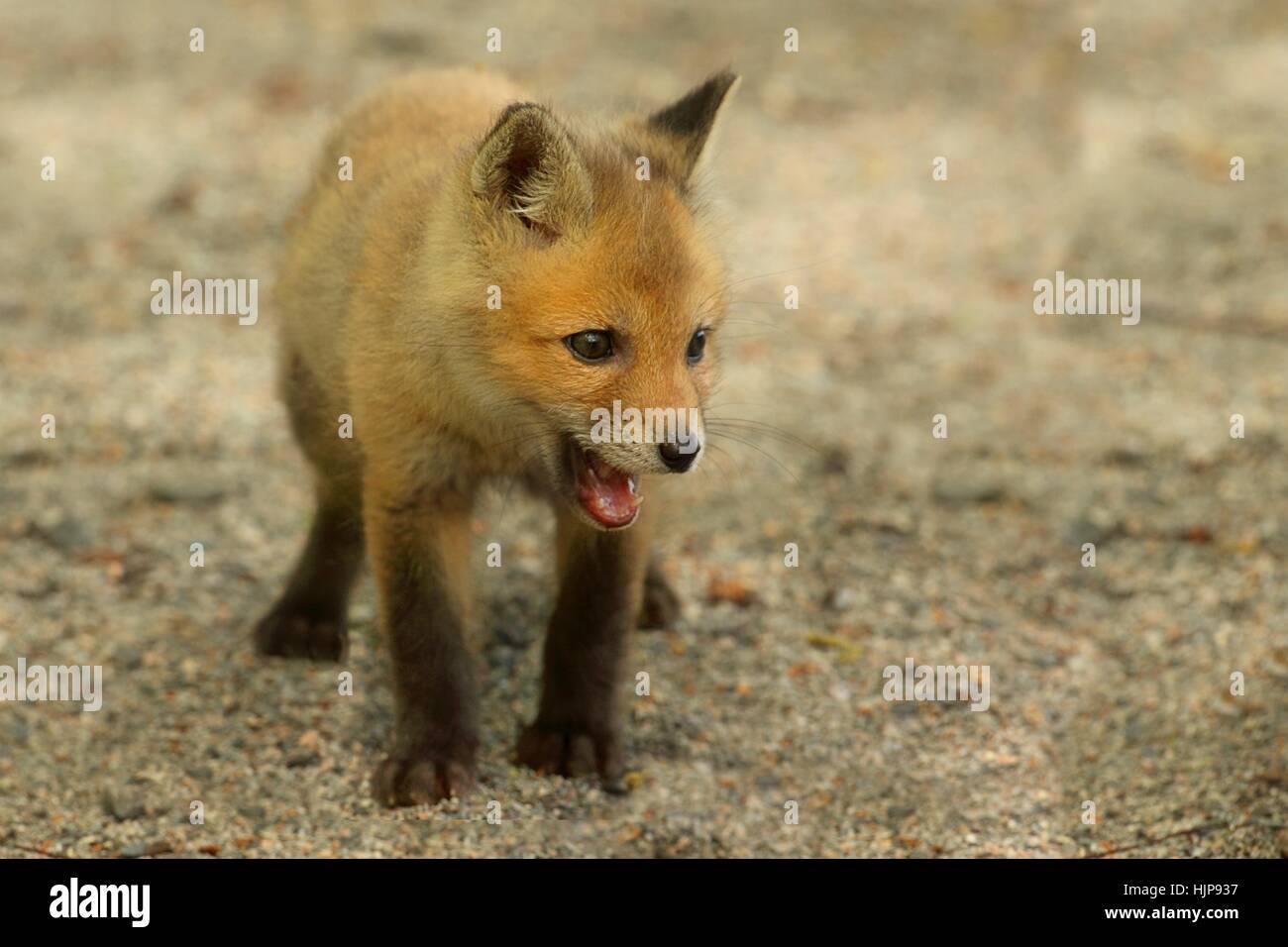animal, mammal, wildlife, cub, baby, fox, kit, young, younger Stock