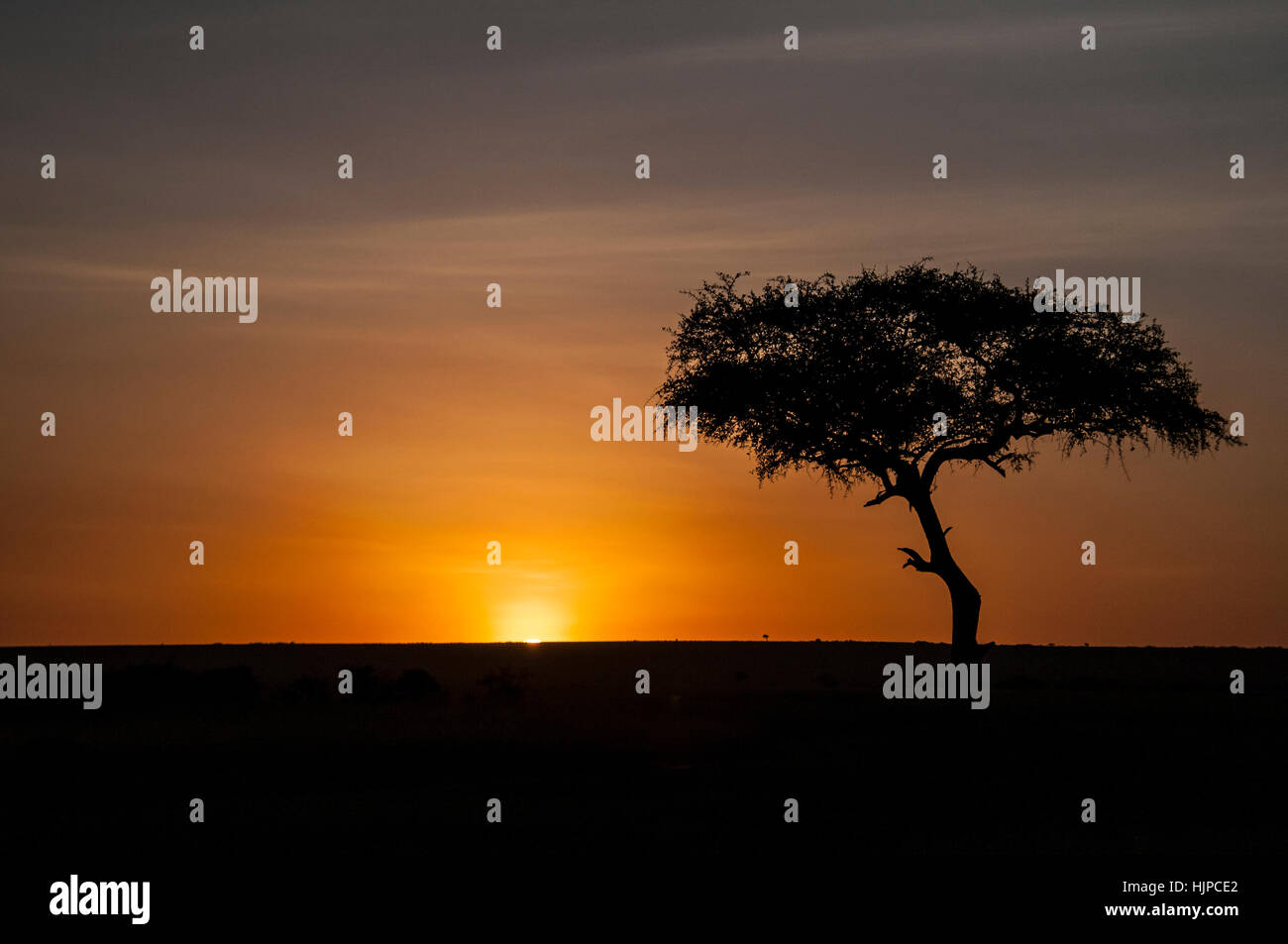 Sunrise behind an acacia tree in the Masai Mara, Kenya, East Africa, Dawn in the savannah - Stock Image