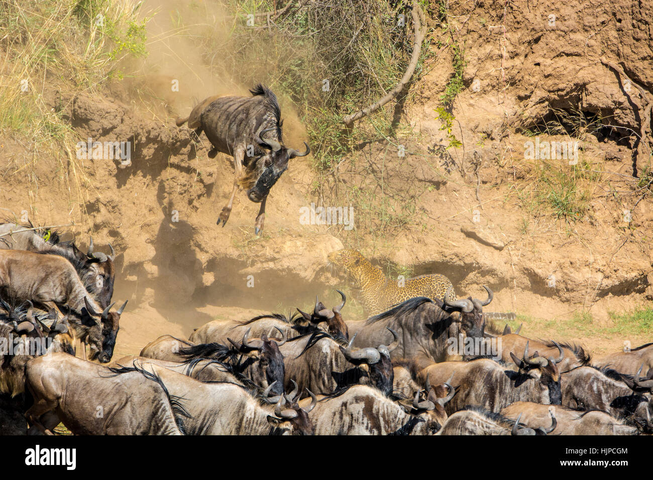 African Leopard, Panthera pardus, stalking, hunting Wildebeest jumping, Connochaetes taurinus, Great Migration, Stock Photo