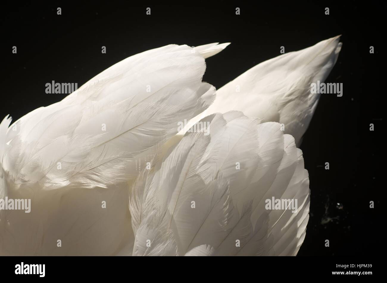 Detail of feathers on a swan's back - Stock Image