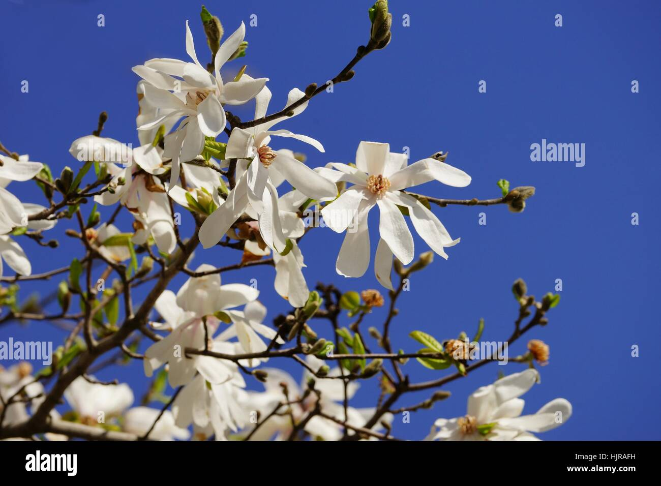 Magnoliids Stock Photos Magnoliids Stock Images Alamy