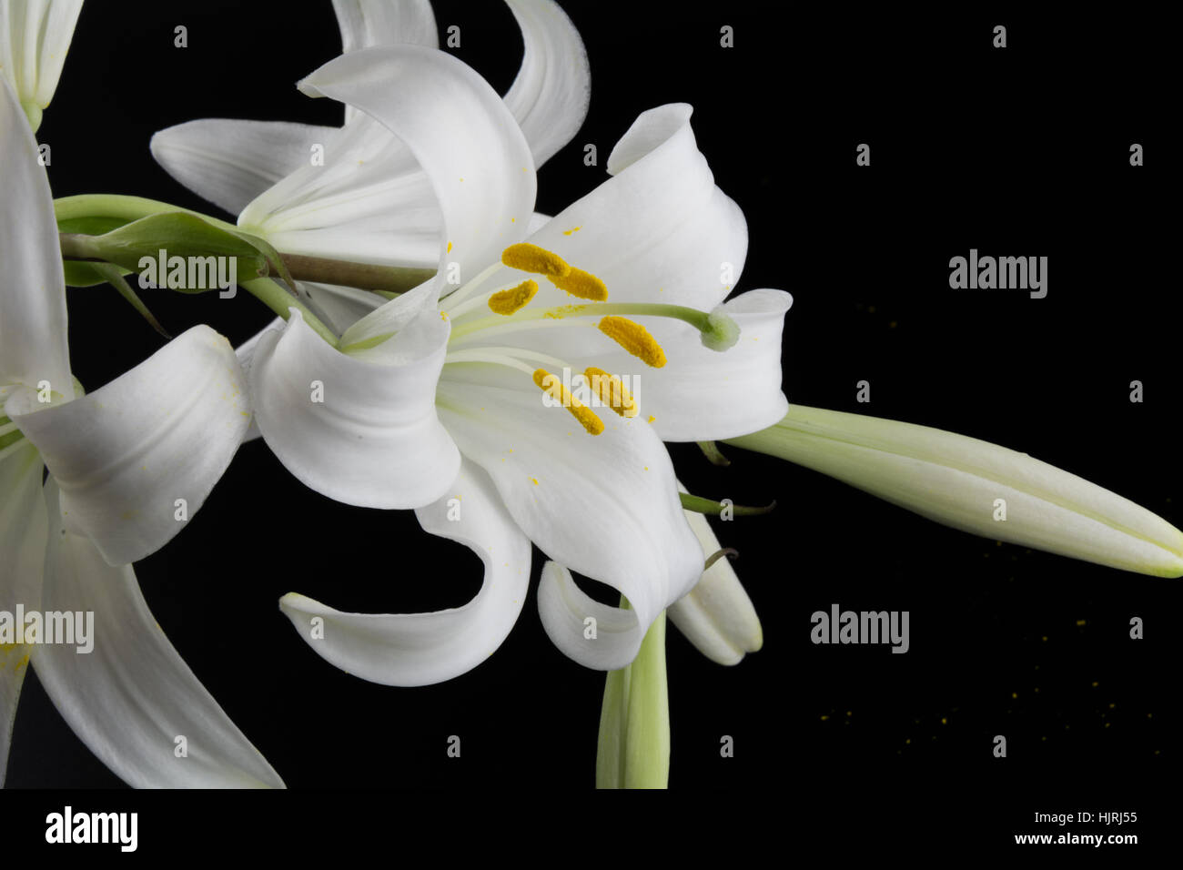Flowers and buds of lilies on a black background stock photo flowers and buds of lilies on a black background izmirmasajfo