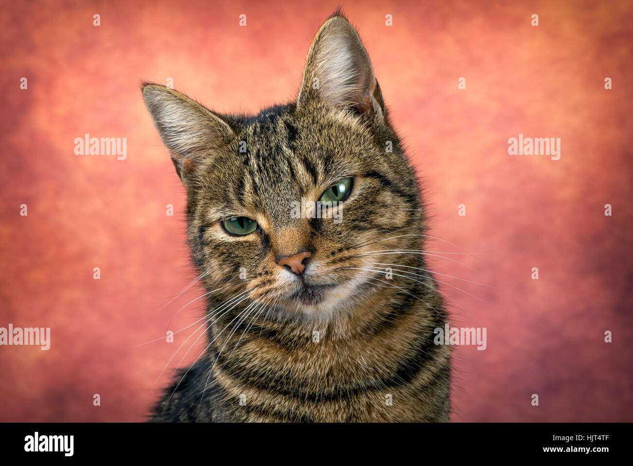 Portrait of tabby cat in front of reddish background - Stock Image