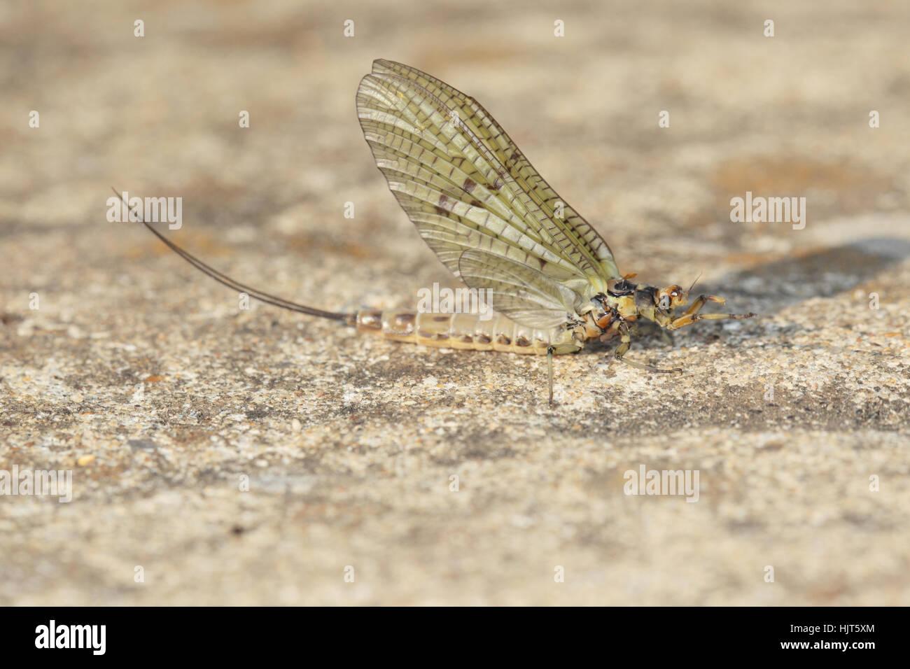 Green Drake Mayfly (Ephemera danica) - a recently emerged adult on a stone in a suburban garden - Stock Image