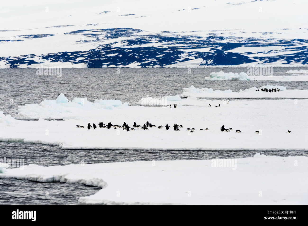 Emperor and Adelie Penguins congregate on the sea ice edge in Antarctica. - Stock Image