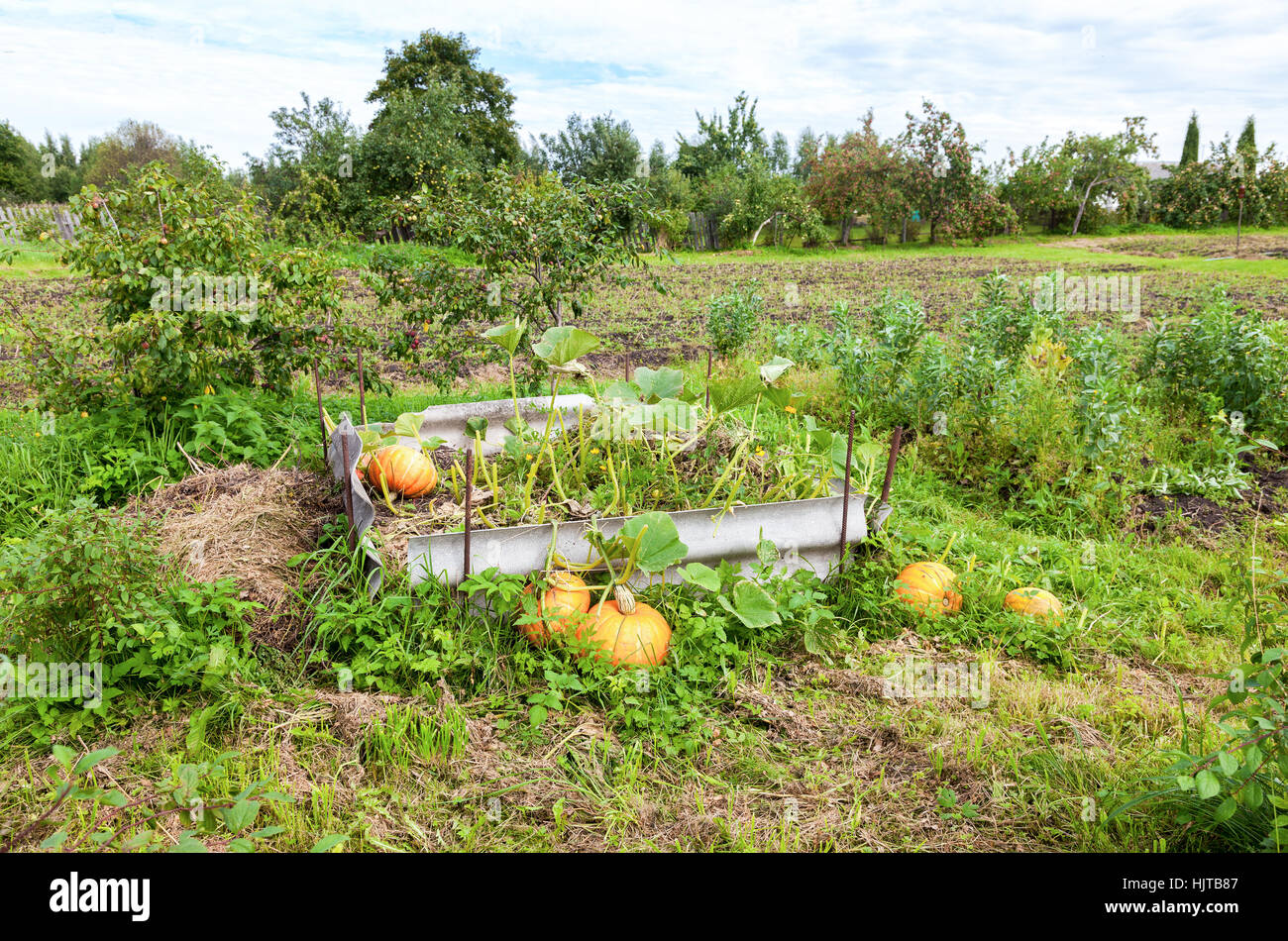 Orange pumpkins with big green leaves growing on the vegetable patch - Stock Image