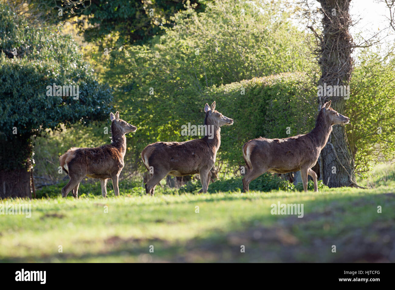 Red Deer (Cervus elaphas). Lead Hind, cautiously,all senses alert, deliberating when to go through a roadside hedge - Stock Image
