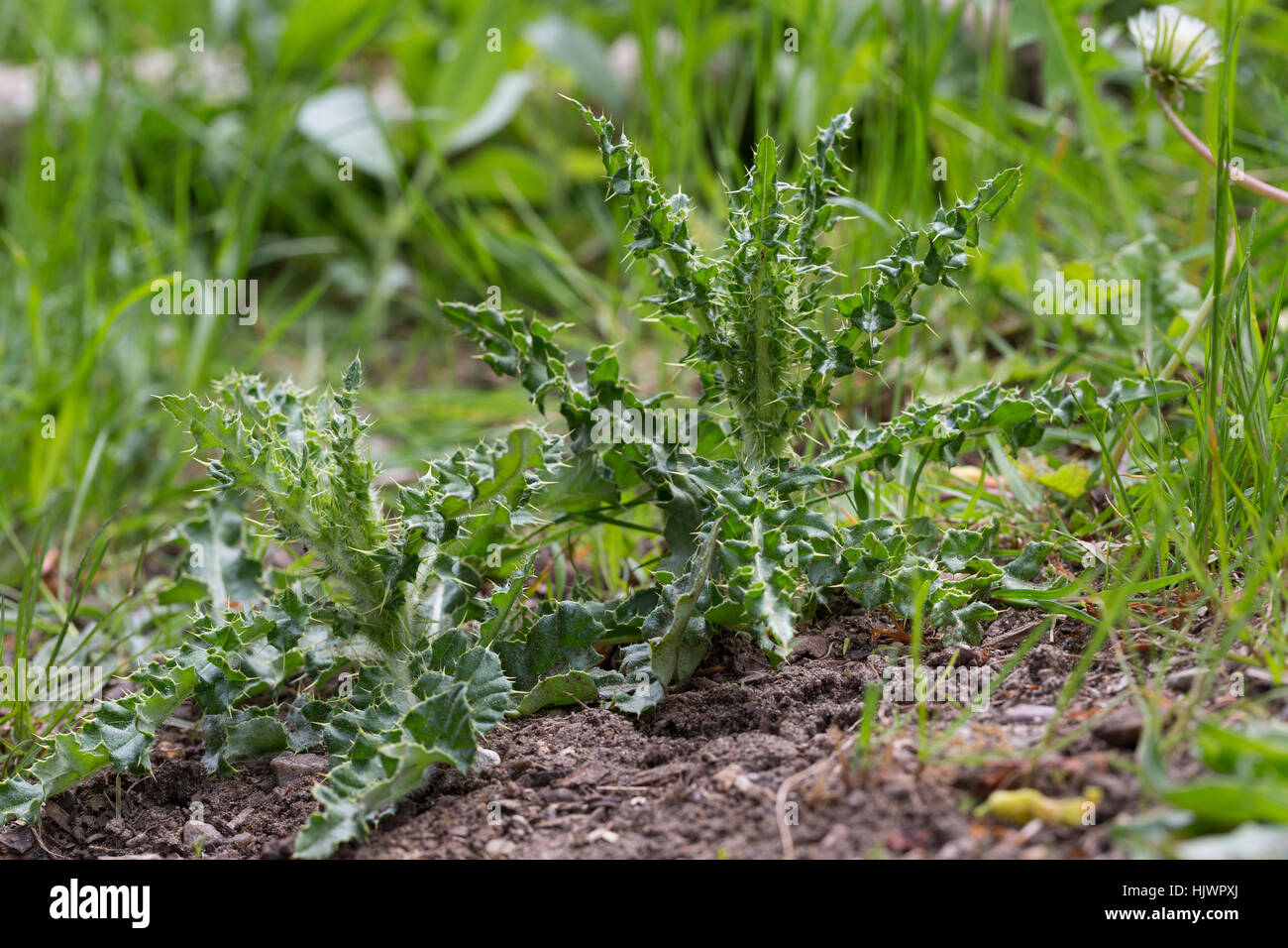 Acker-Kratzdistel, Blatt, Blätter, Ackerkratzdistel, Kratzdistel, Distel, Cirsium arvense, Creeping thistle, - Stock Image