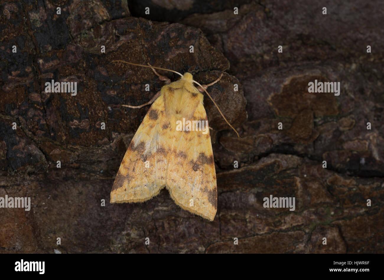 Bleich-Gelbeule, Bleiche Weiden-Gelbeule, Bleiche Gelbeule, Xanthia icteritia, Cirrhia icteritia, Sallow. Eulenfalter, - Stock Image