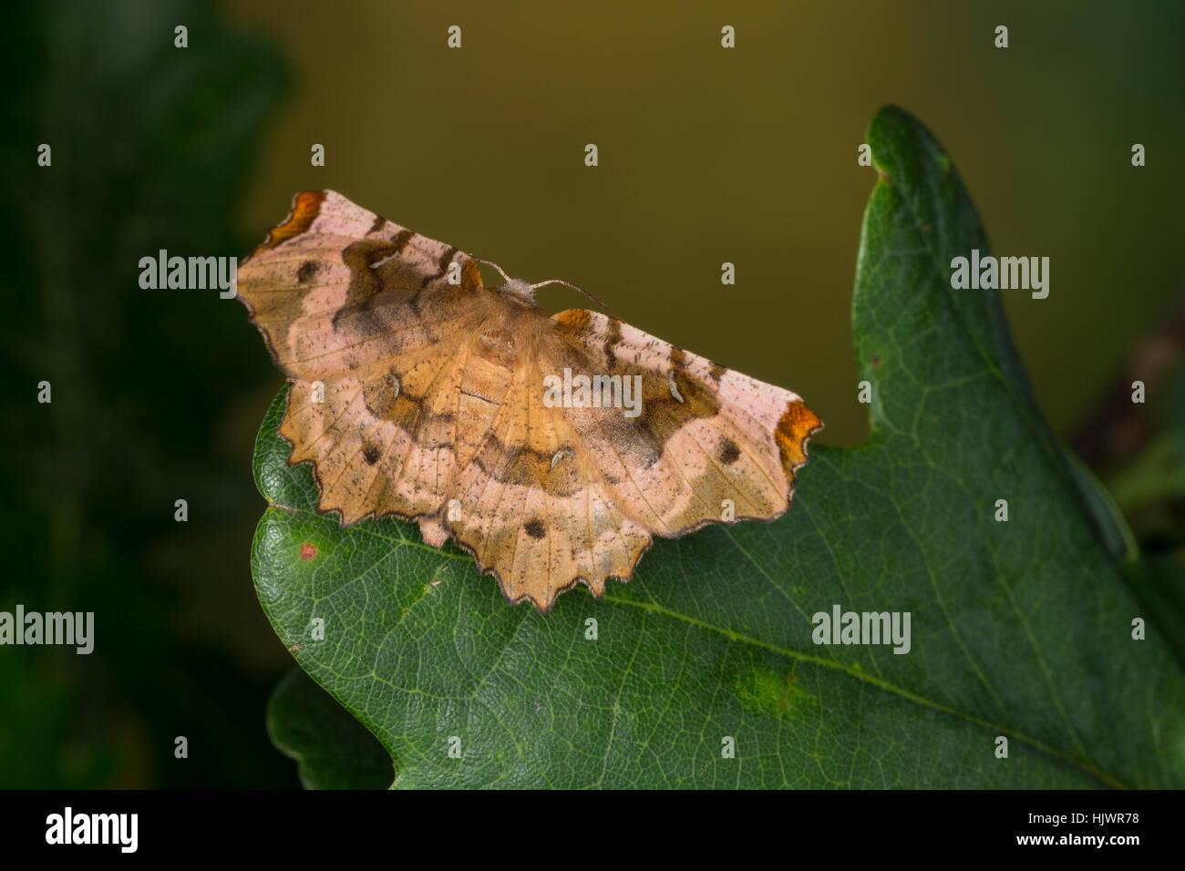 Violettbrauner Mondfleckspanner, Selenia tetralunaria, purple thorn, l'ennomos illustre. Spanner, Geometridae, looper, - Stock Image