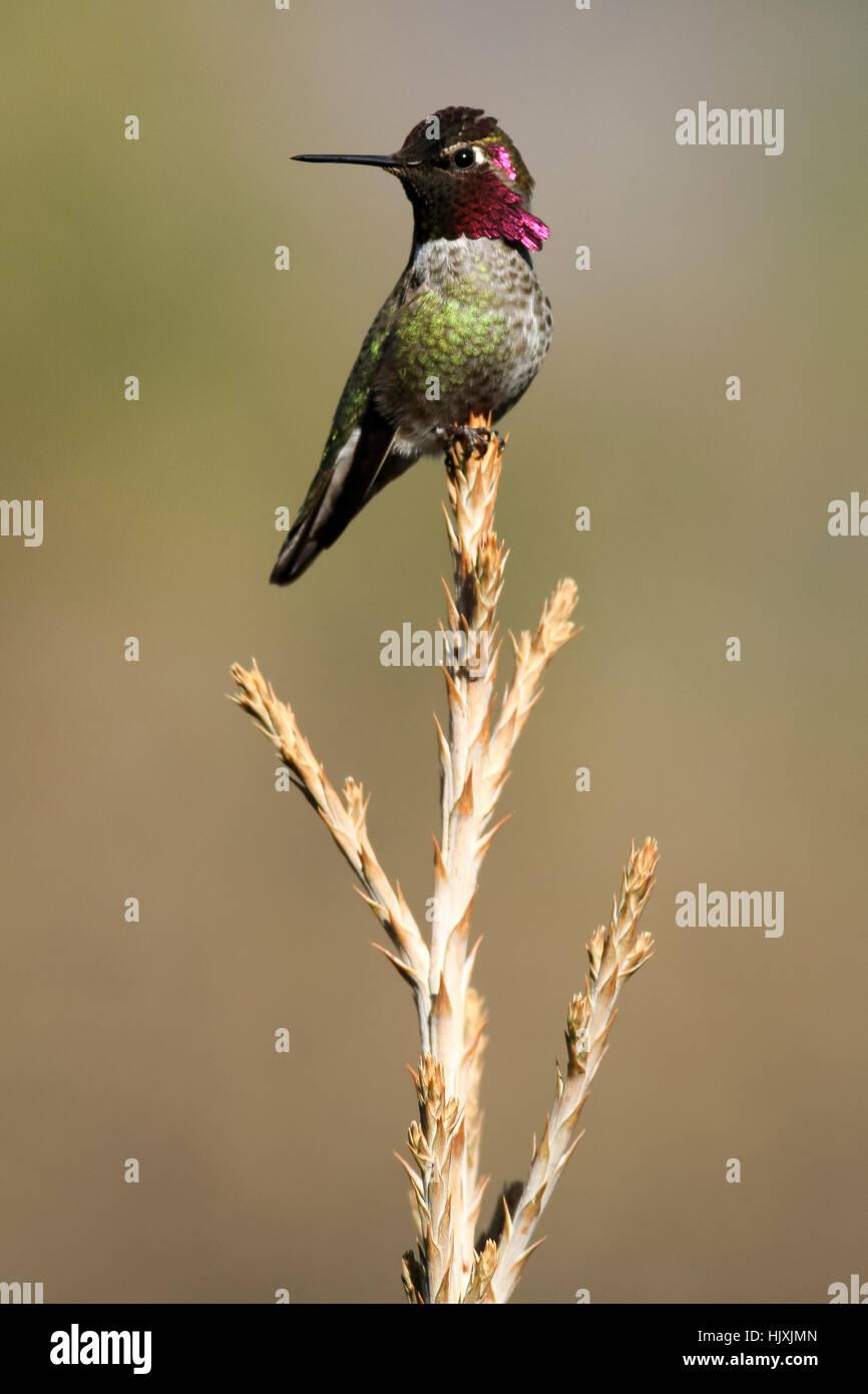 Anna's humming bird sitting on tree top (Calypte anna) by David Hoffmann, Oregon, Ashland, Cascade Siskiyou National - Stock Image