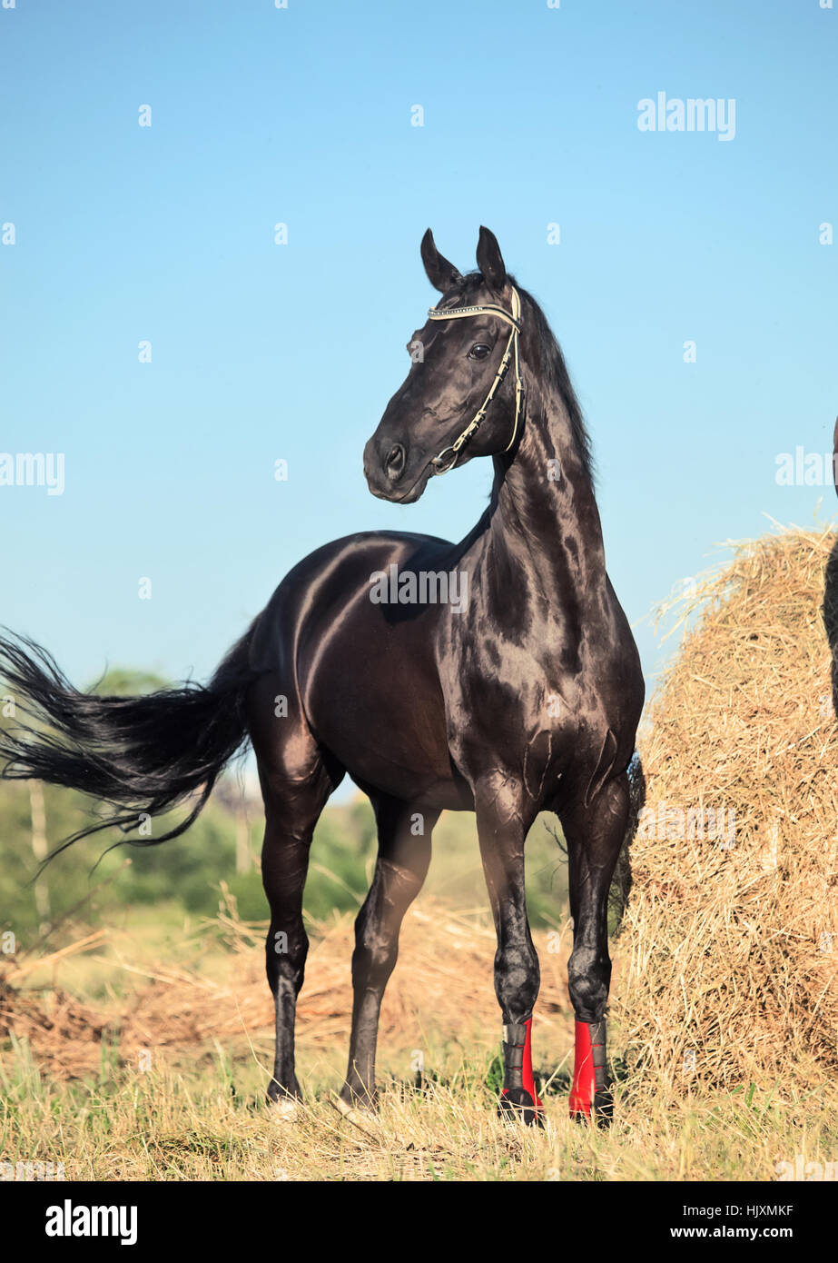 black beautiful sportive stallion posing in field with hay - Stock Image